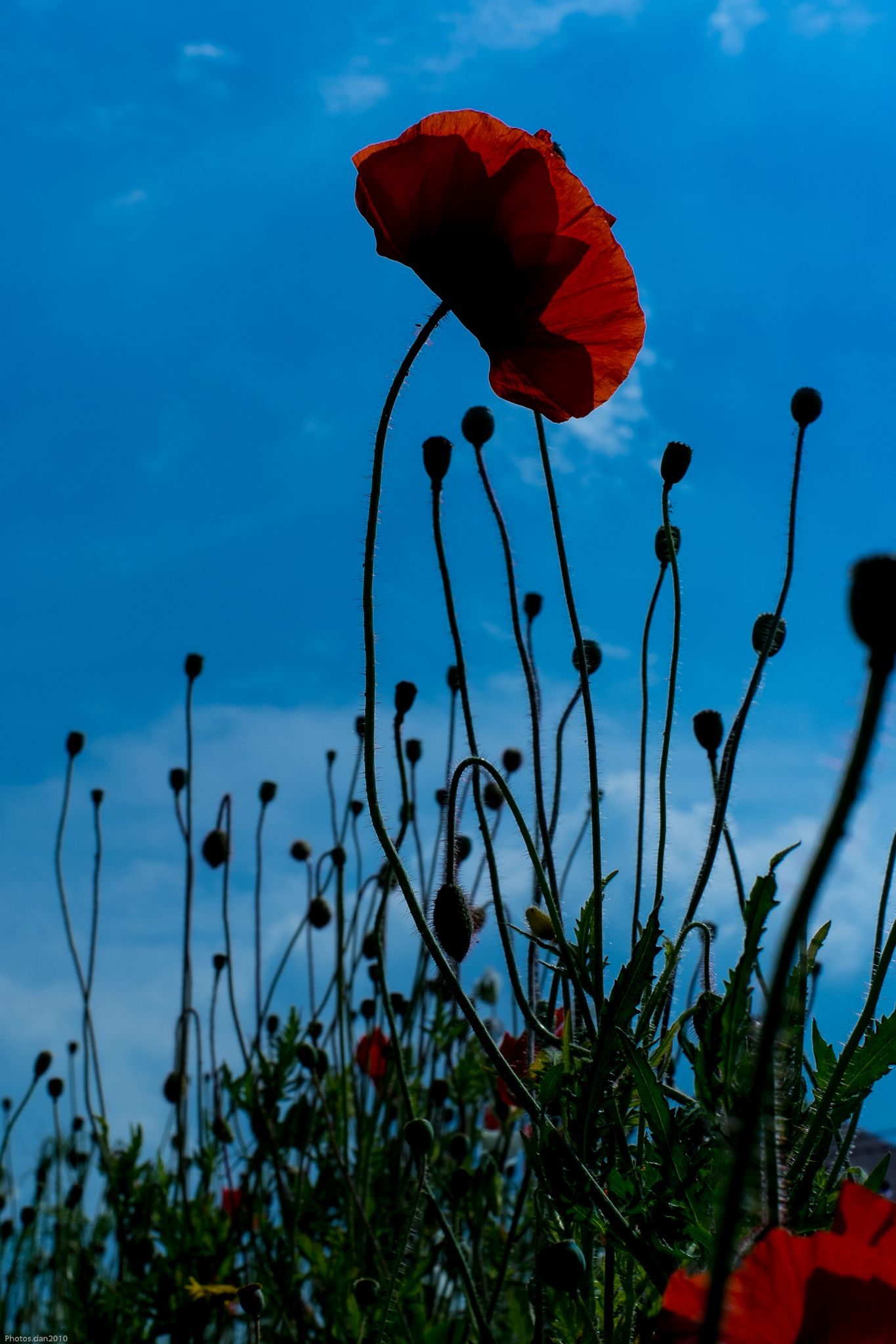 _DSF3345...Gentils coquelicots!!!!! by photosdan