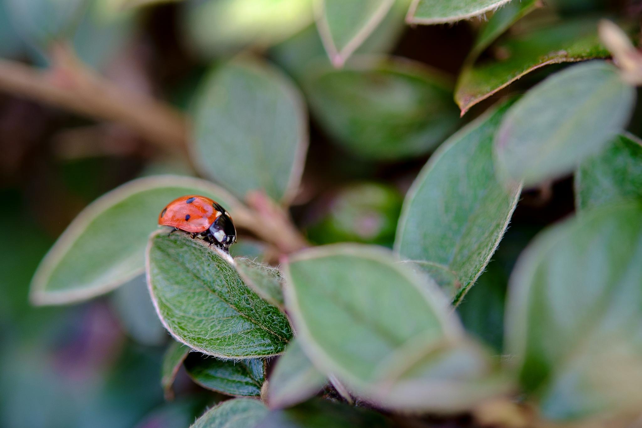 Ladybug.... by photosdan