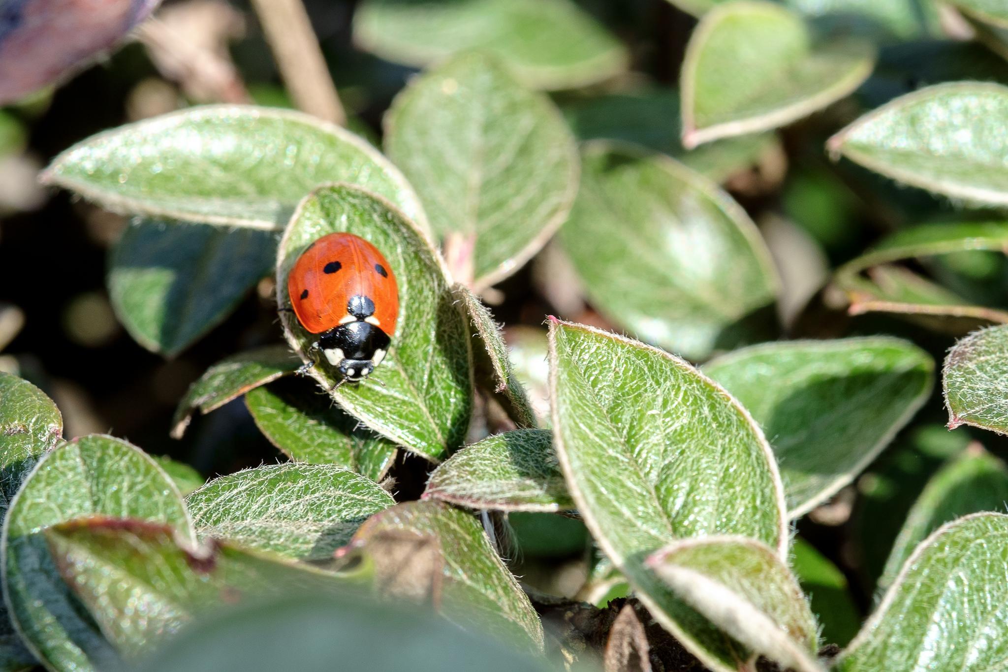 Macro LadyBug.. by photosdan