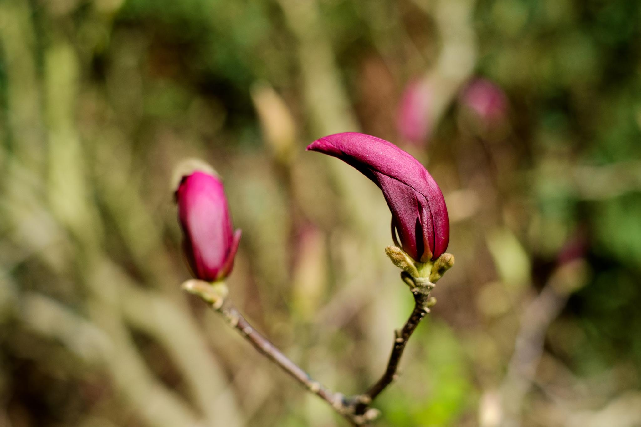 Magnolia... Bokey by photosdan