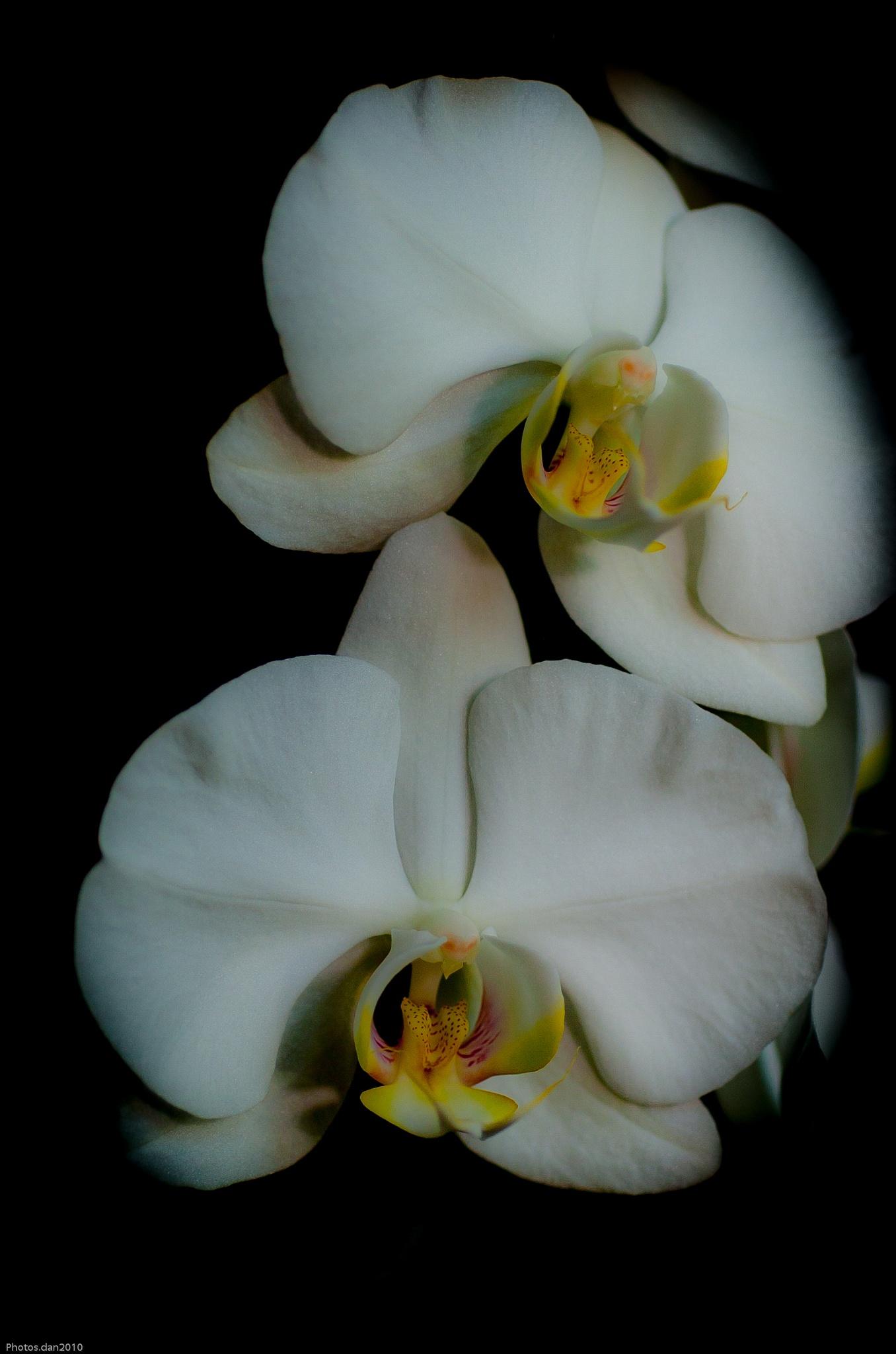 Orchidées... by photosdan