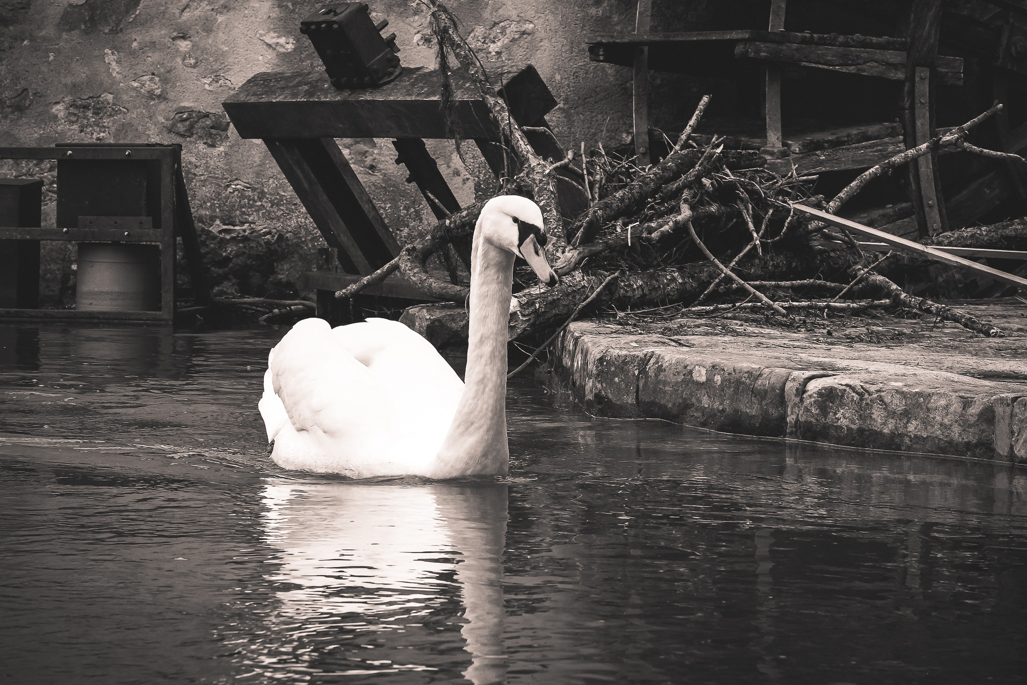 Cygne en balade ... by photosdan