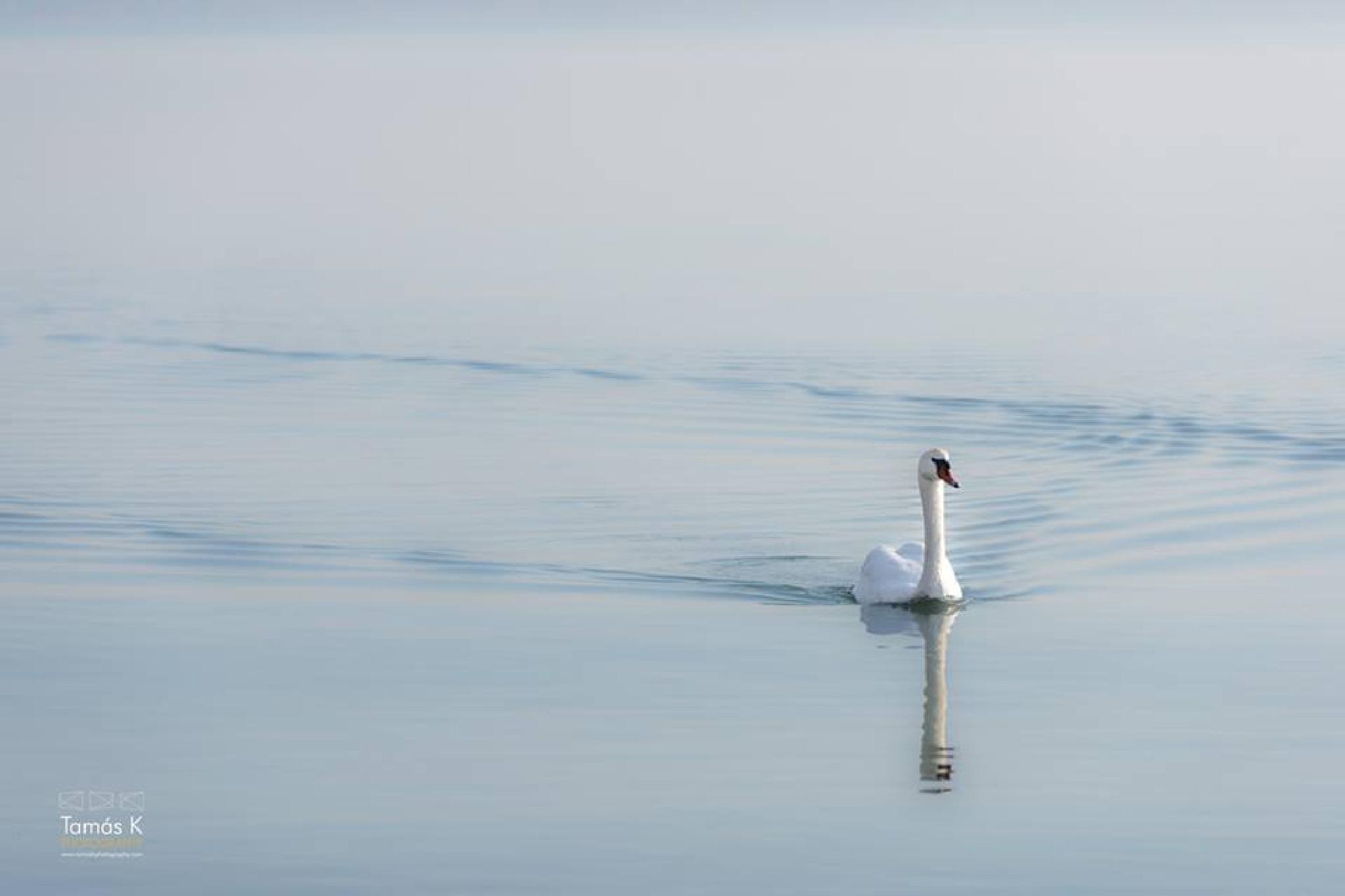 Swan on lake Balaton by tamaskphotography