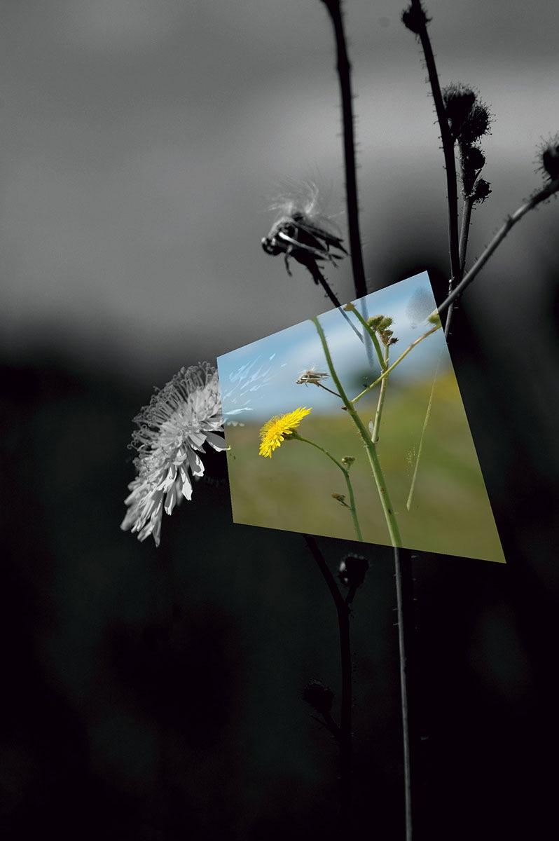 Dandelion 2 by elaine