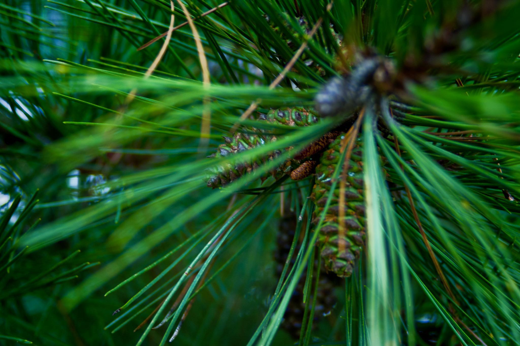 Pine Tree by Austin Devine