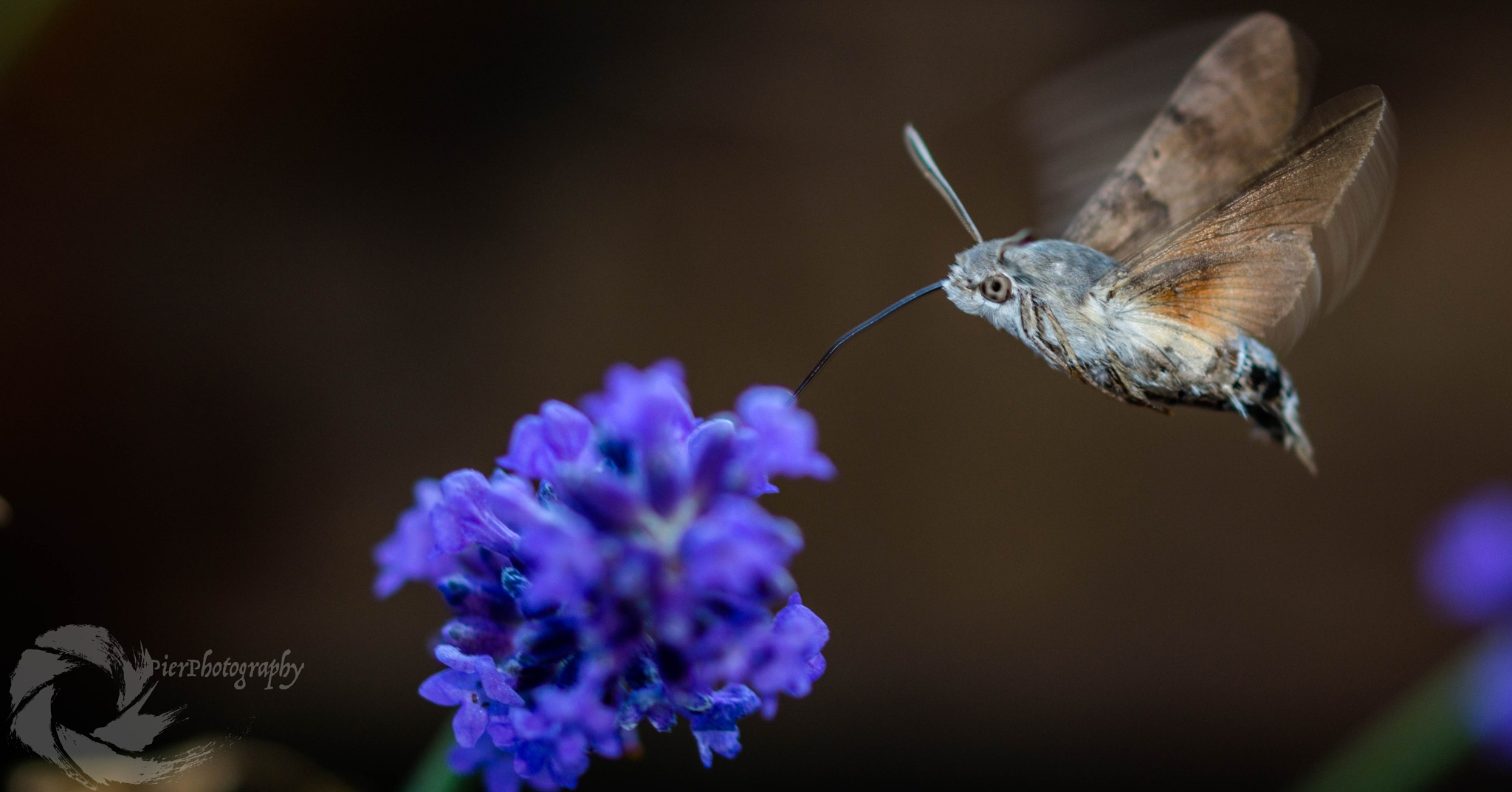 Moro sphinx by pier-photography