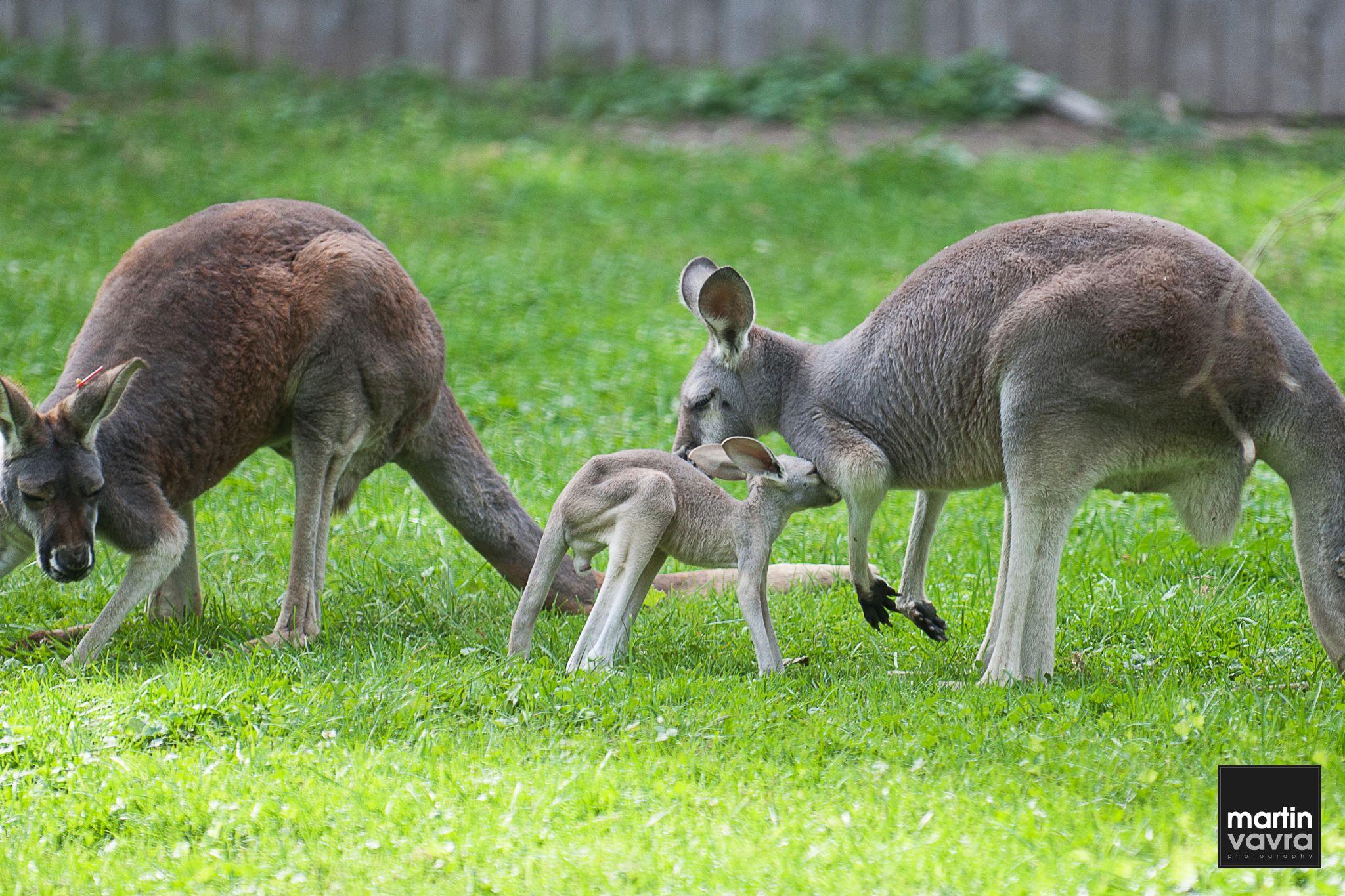 Baby kangaroo at the Detroit Zoo by martin.vavra.330