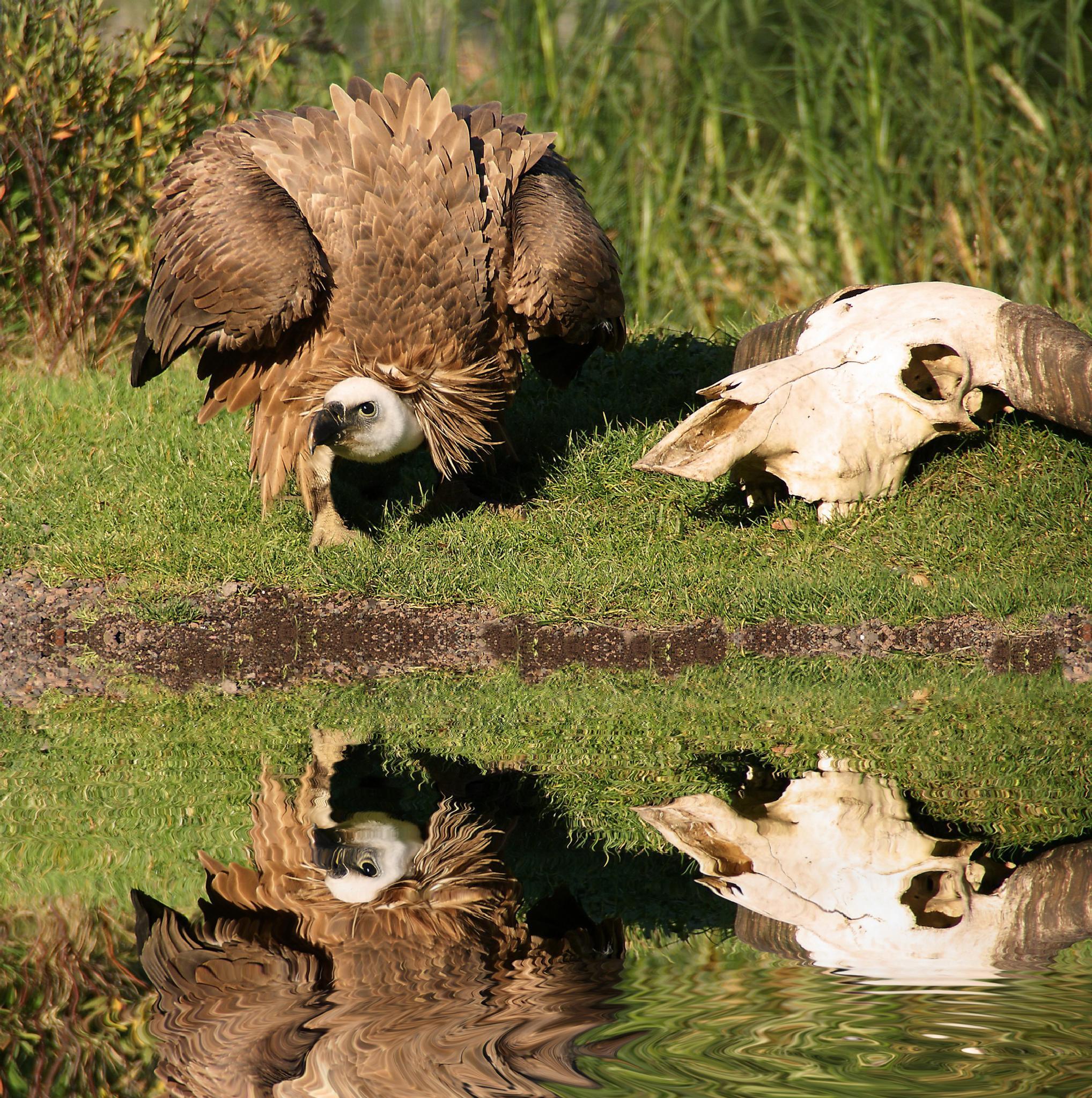 Vulture by Ad Spruijt