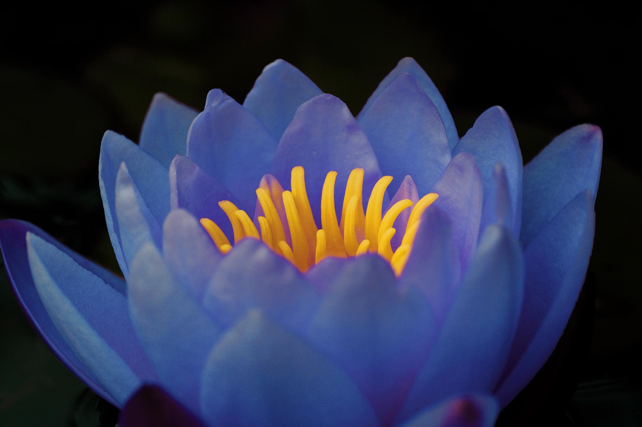 Water Lily by Ad Spruijt