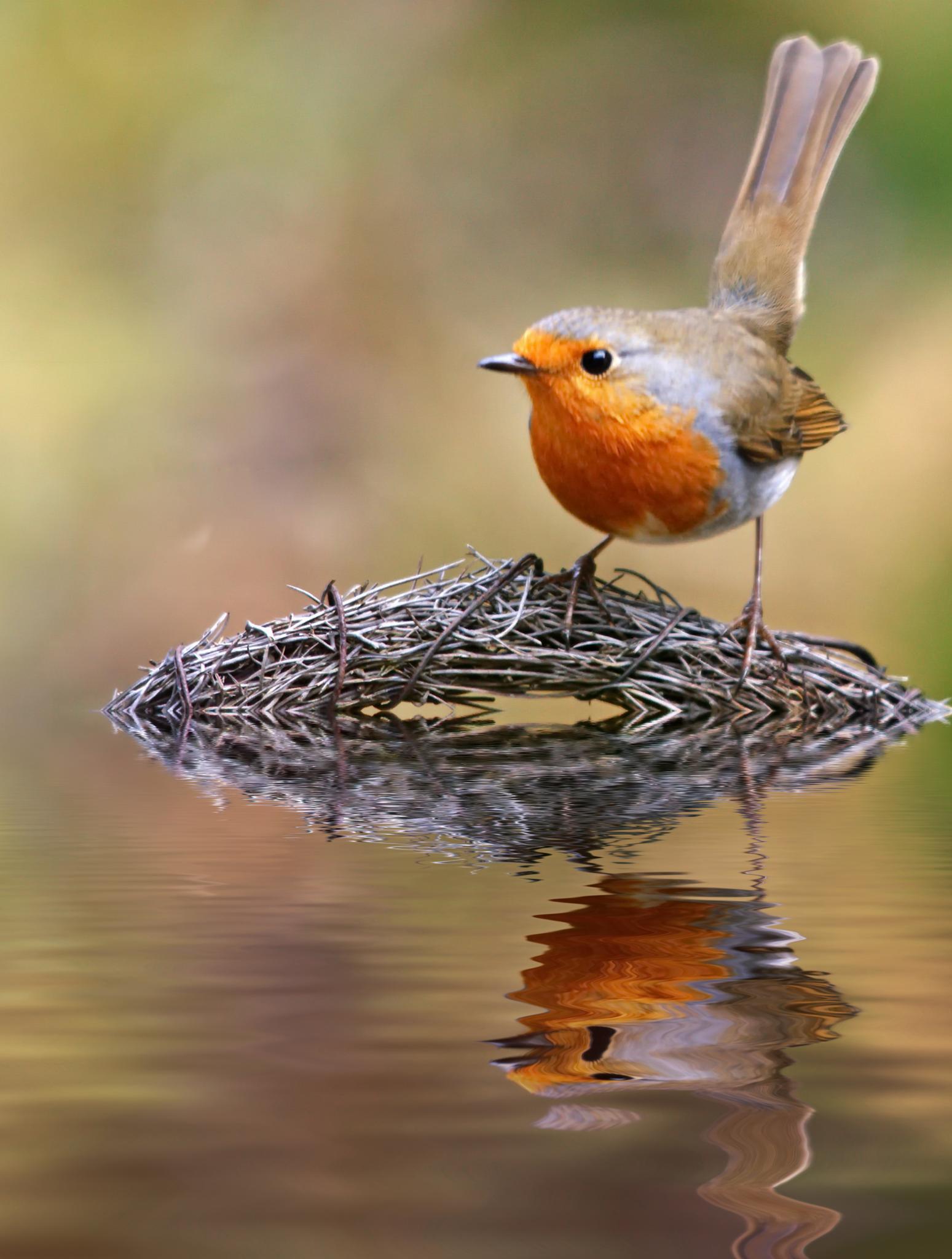 Robin by Ad Spruijt