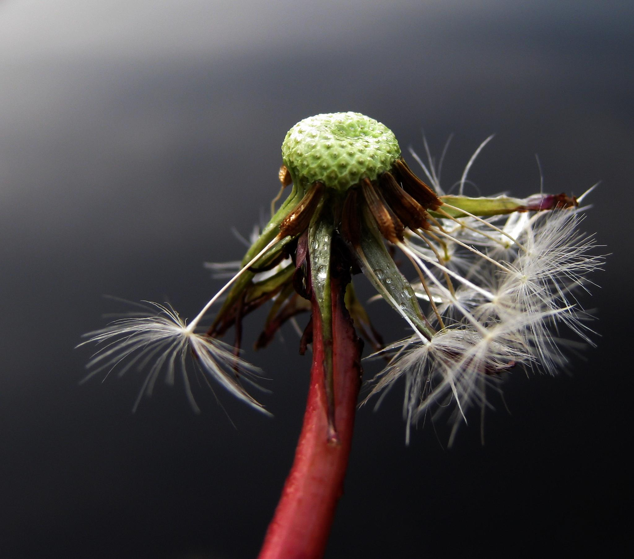 Dandelion by Ad Spruijt