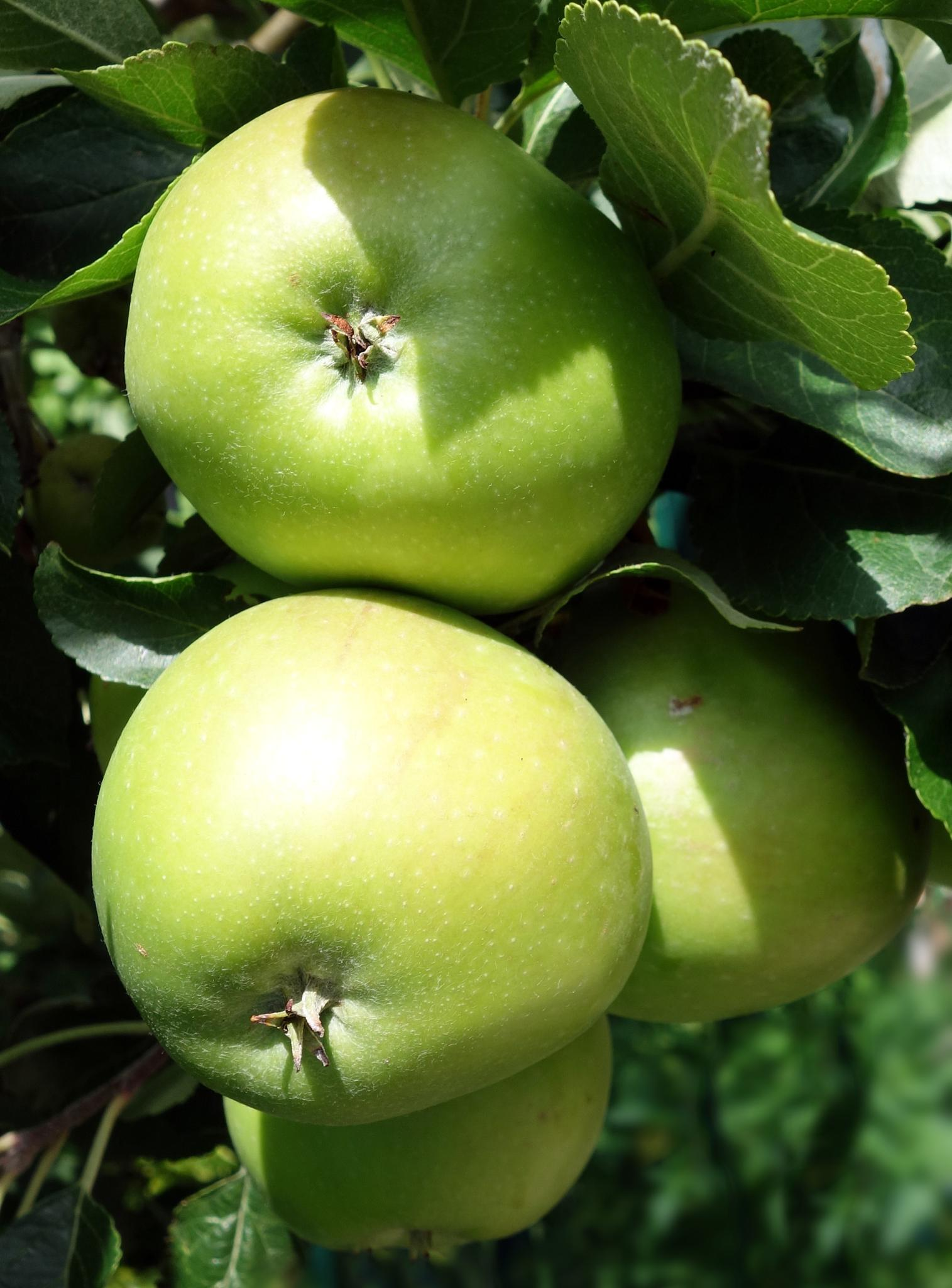 Photo in Nature #fruit #apples
