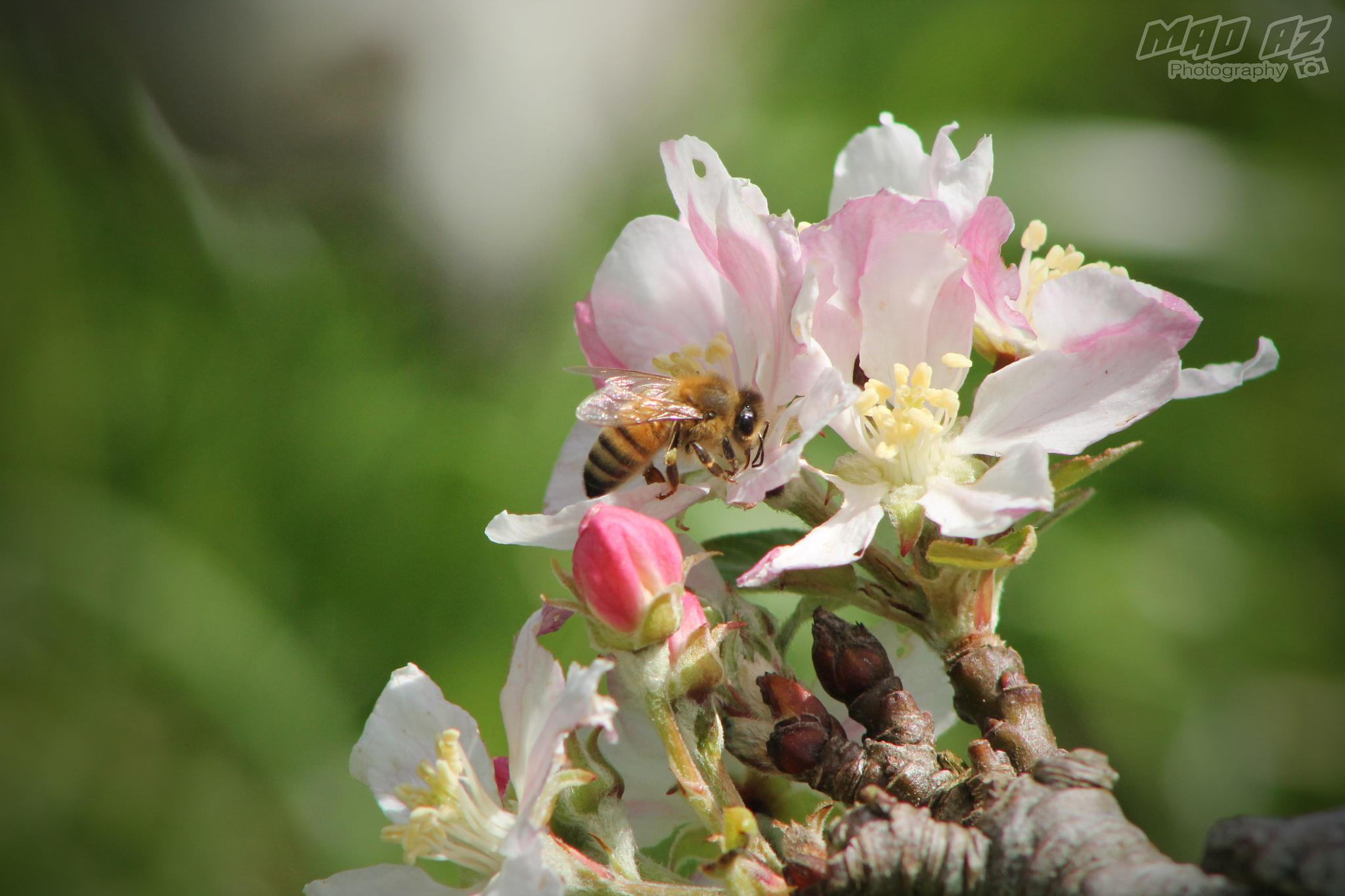 Apple Blossoms with Honey Bee by Jared Cornish