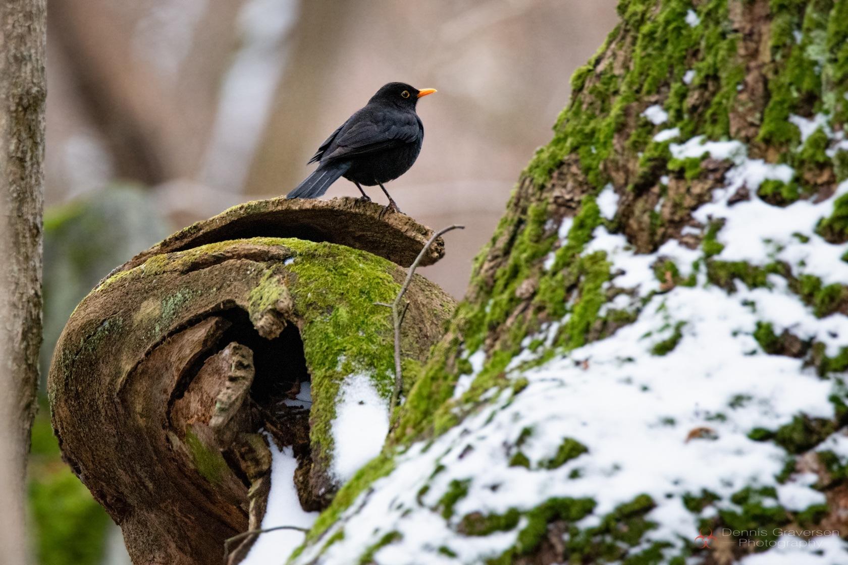 Blackbird by Dennis Graversen