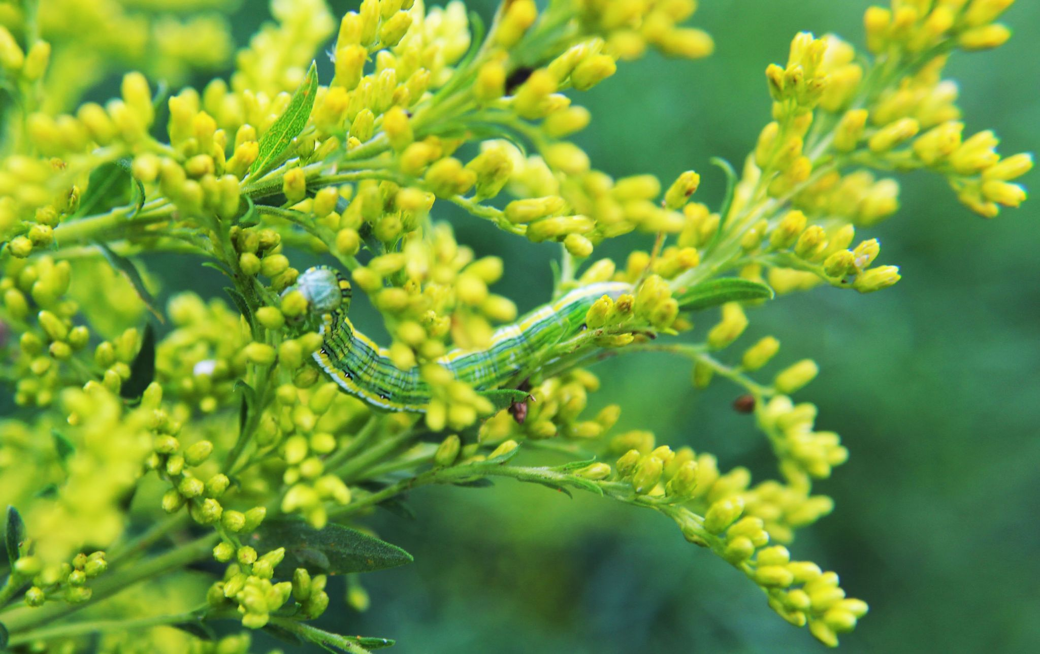 Hooded Owlet Caterpillar on Goldenrod by Petrichor