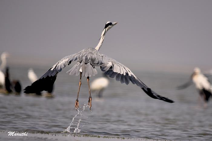 Great Blue Heron by Maruthi Pujari