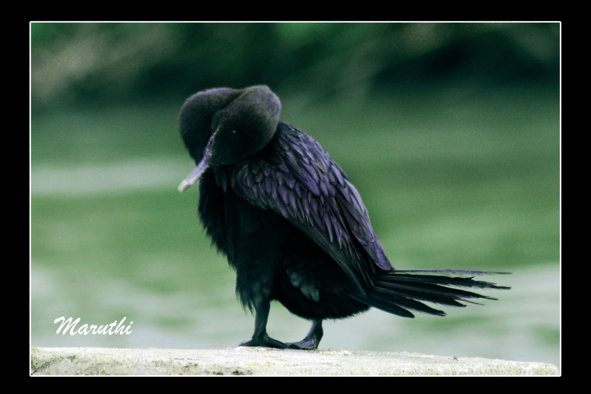 Little cormorant by Maruthi Pujari
