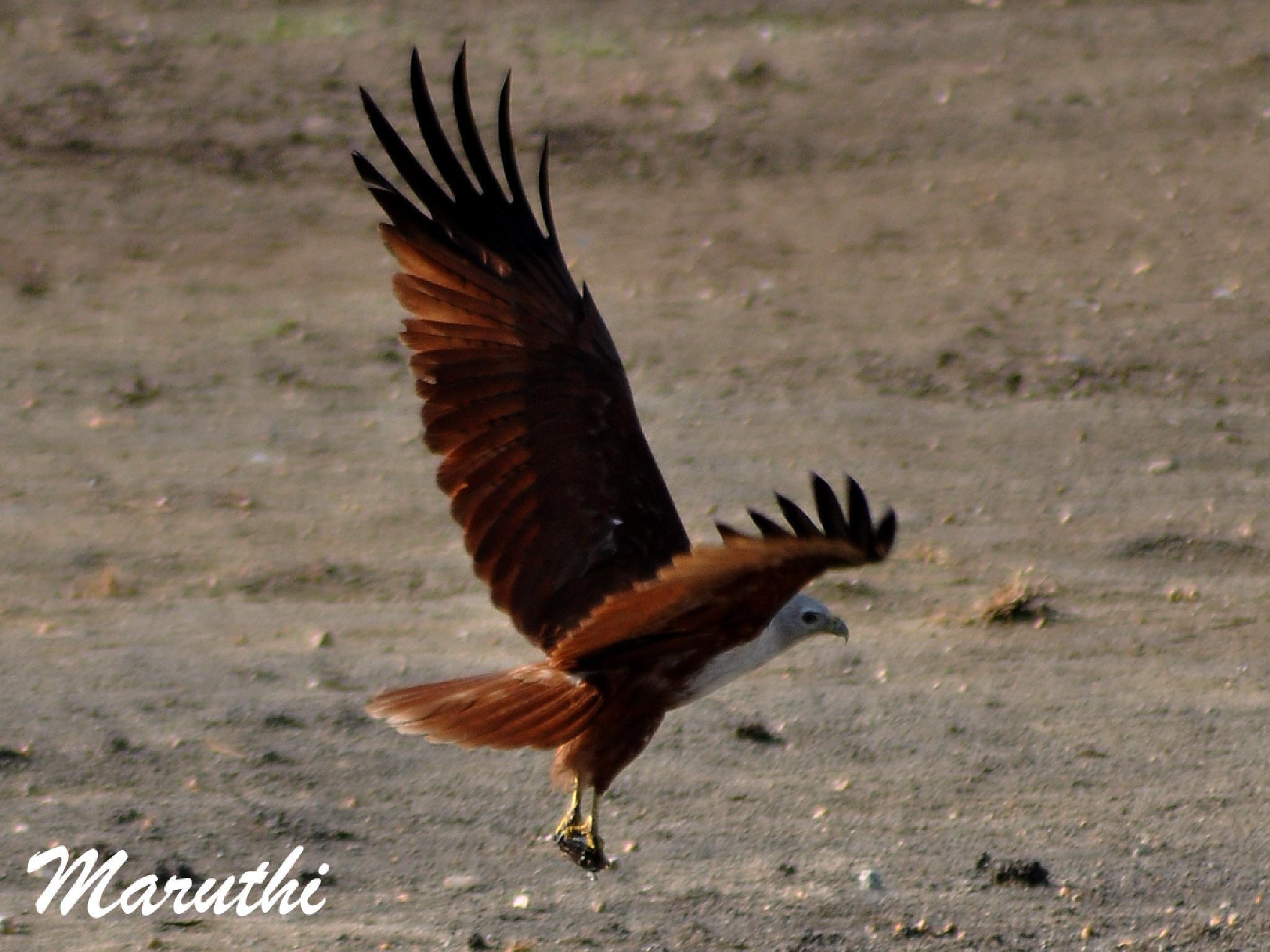 Brahminy kite by Maruthi Pujari