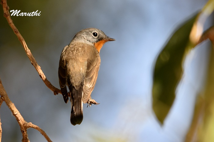 Red Breasted Flycatcher Male. by Maruthi Pujari