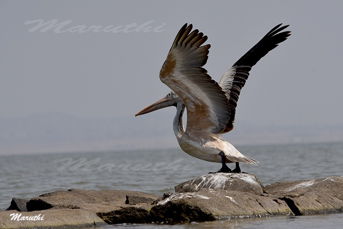 Spot-billed pelican by Maruthi Pujari
