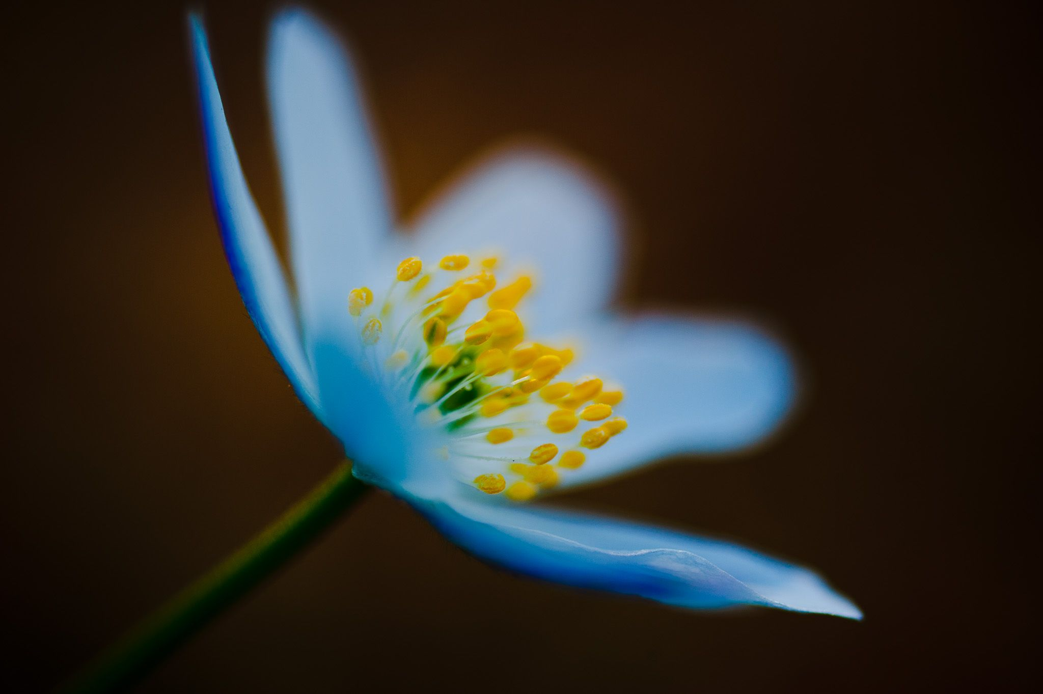 Wood anemone by Fredrik Strandin