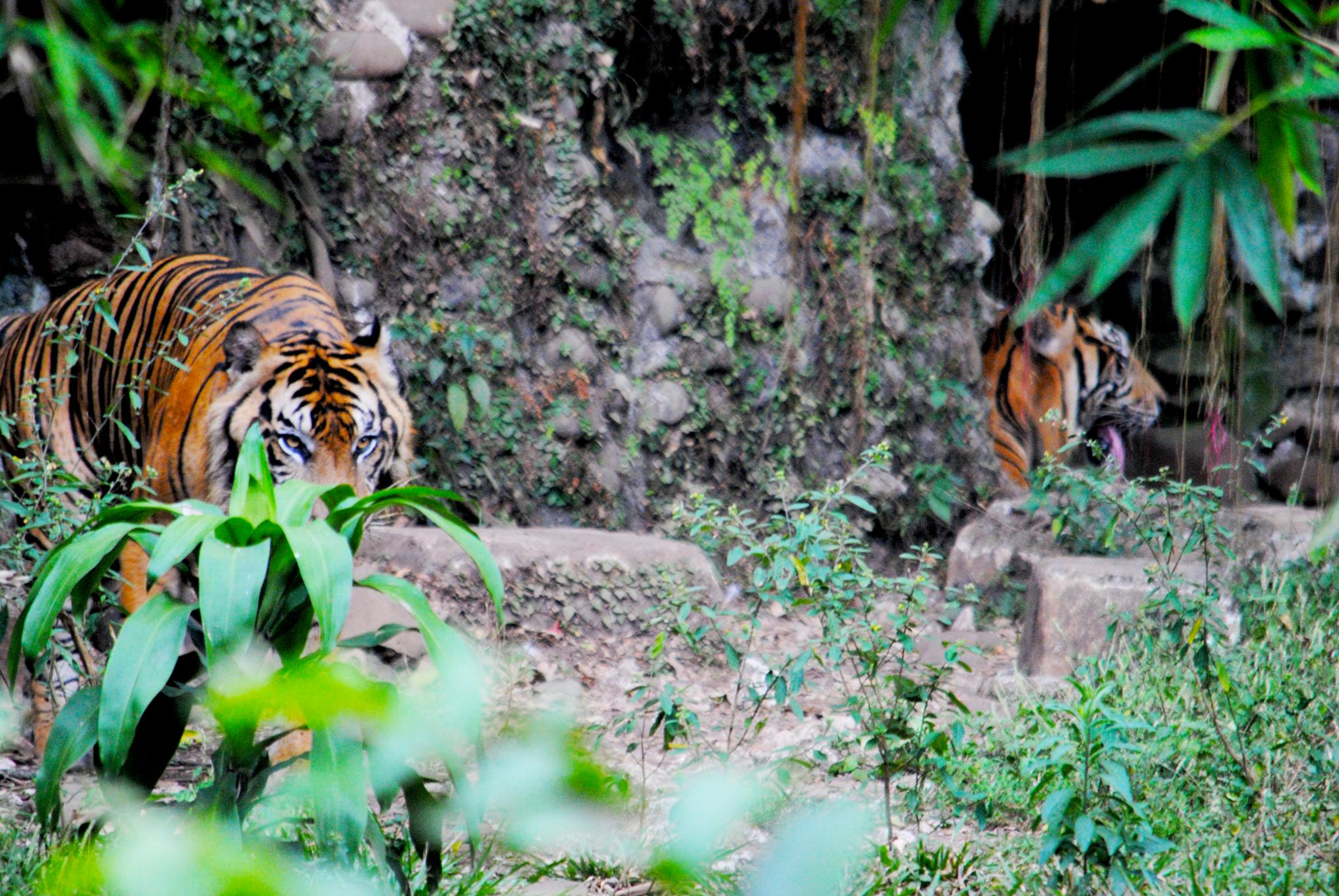 Prepare for something, Sumatara Tiger that will be lost by Sarles Sihombing