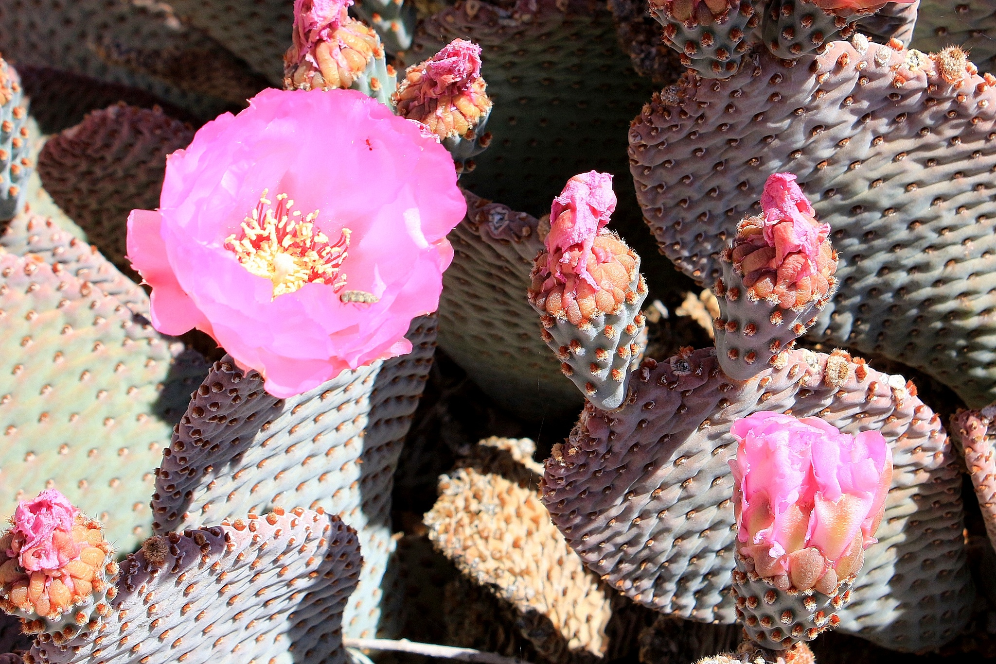 Cactus Bloom, Joshua Tree NP by katze
