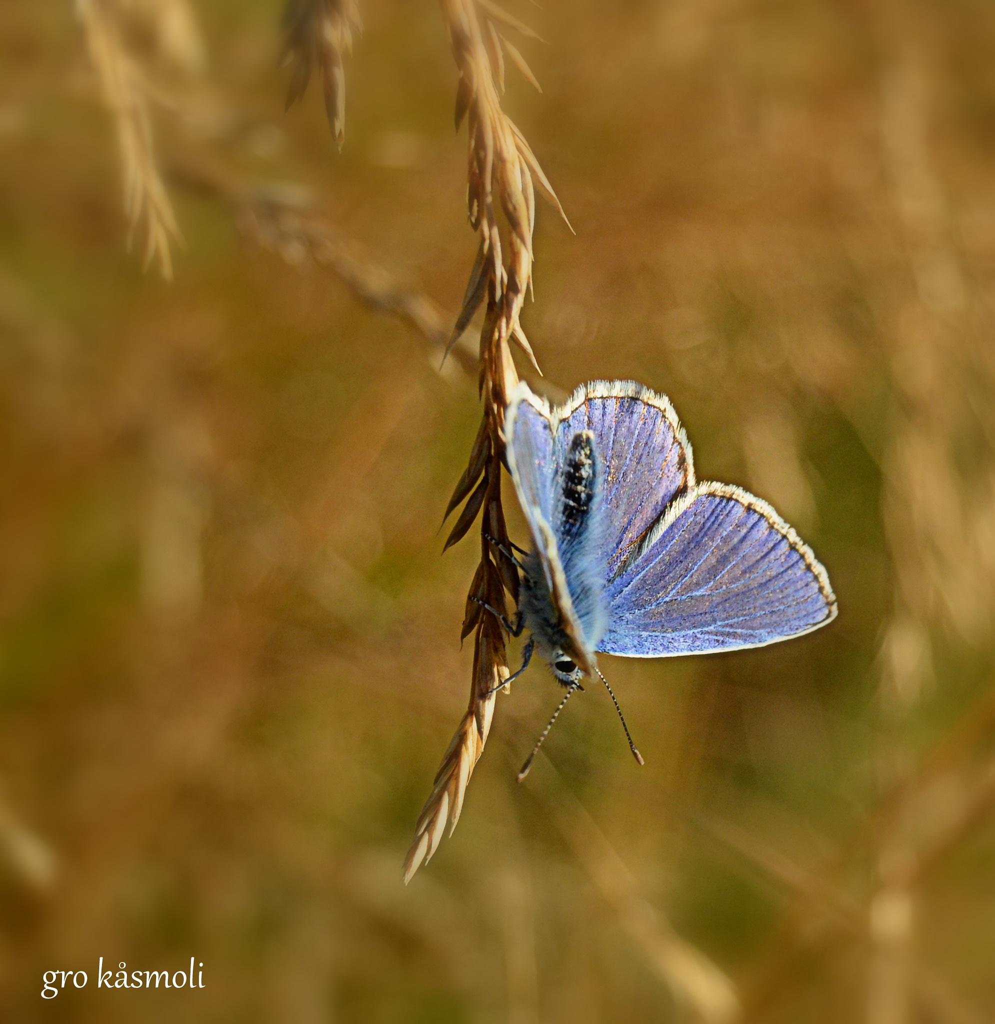 Butterfly by gro.kasmoli