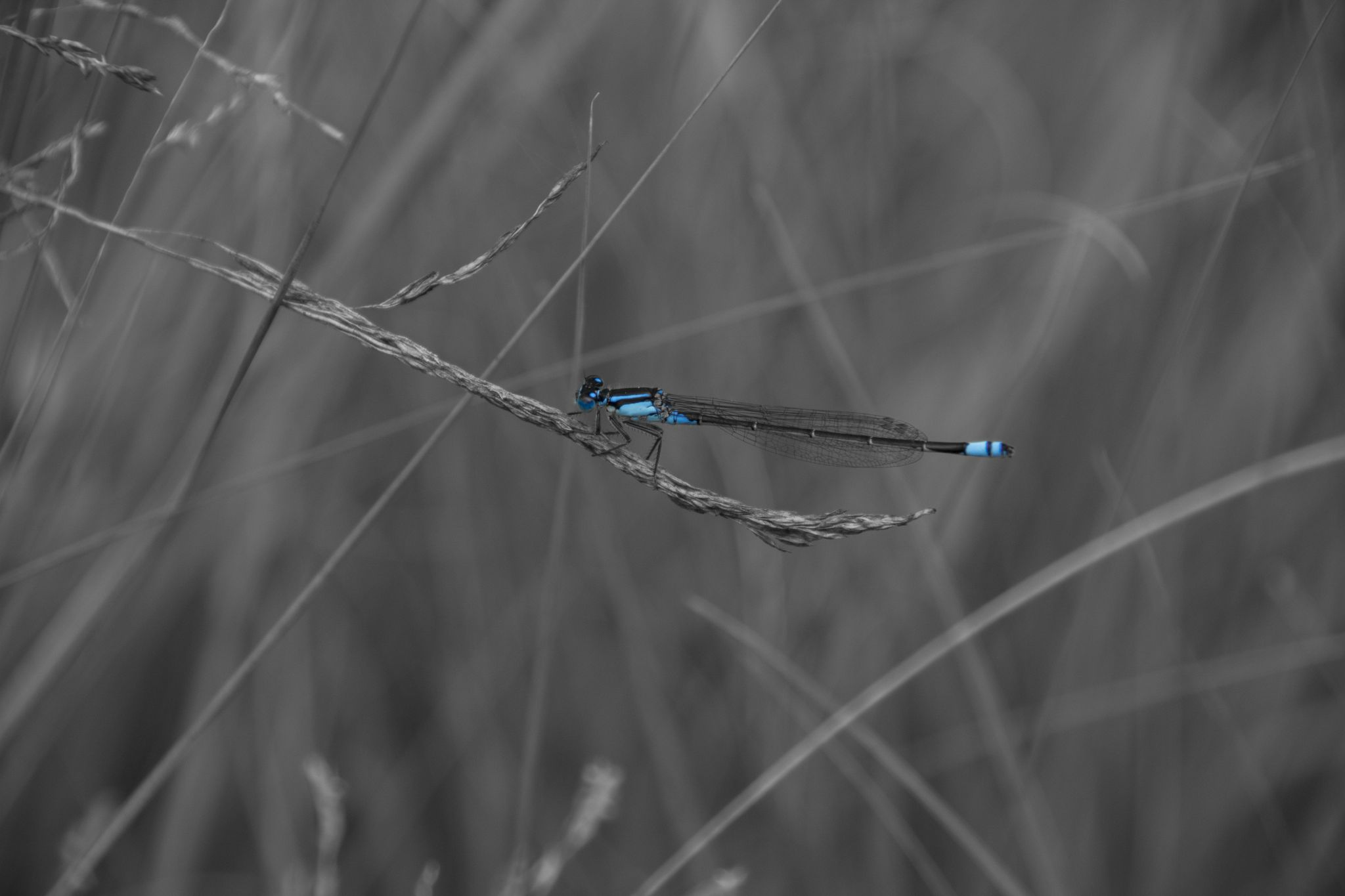 Damselfly by Dchester1001