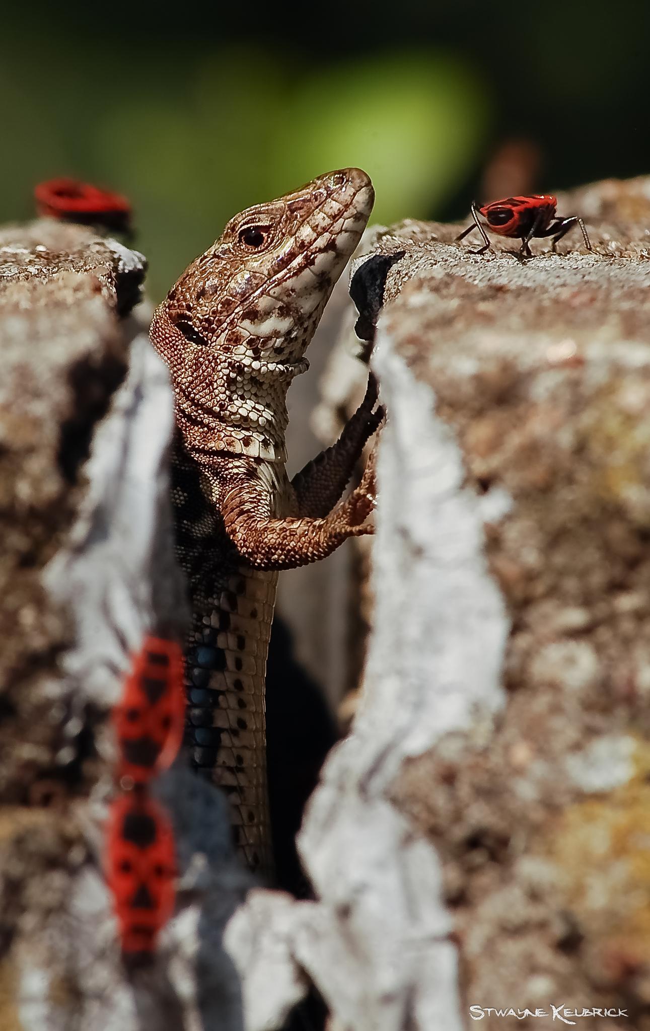 Random Lizard by Stwayne Keubrick