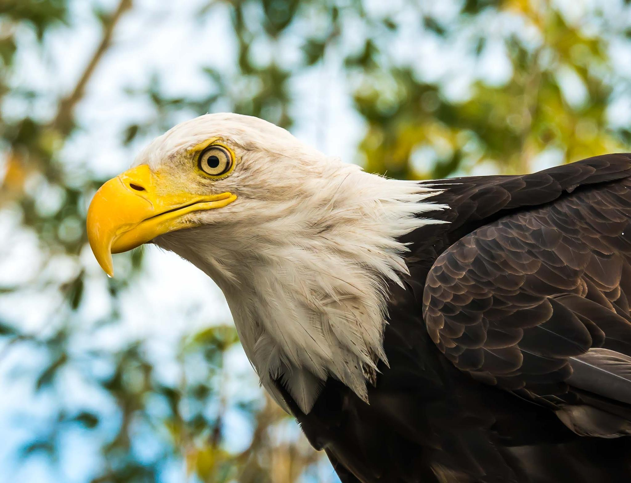 The Bald Eagle by Craig Turner