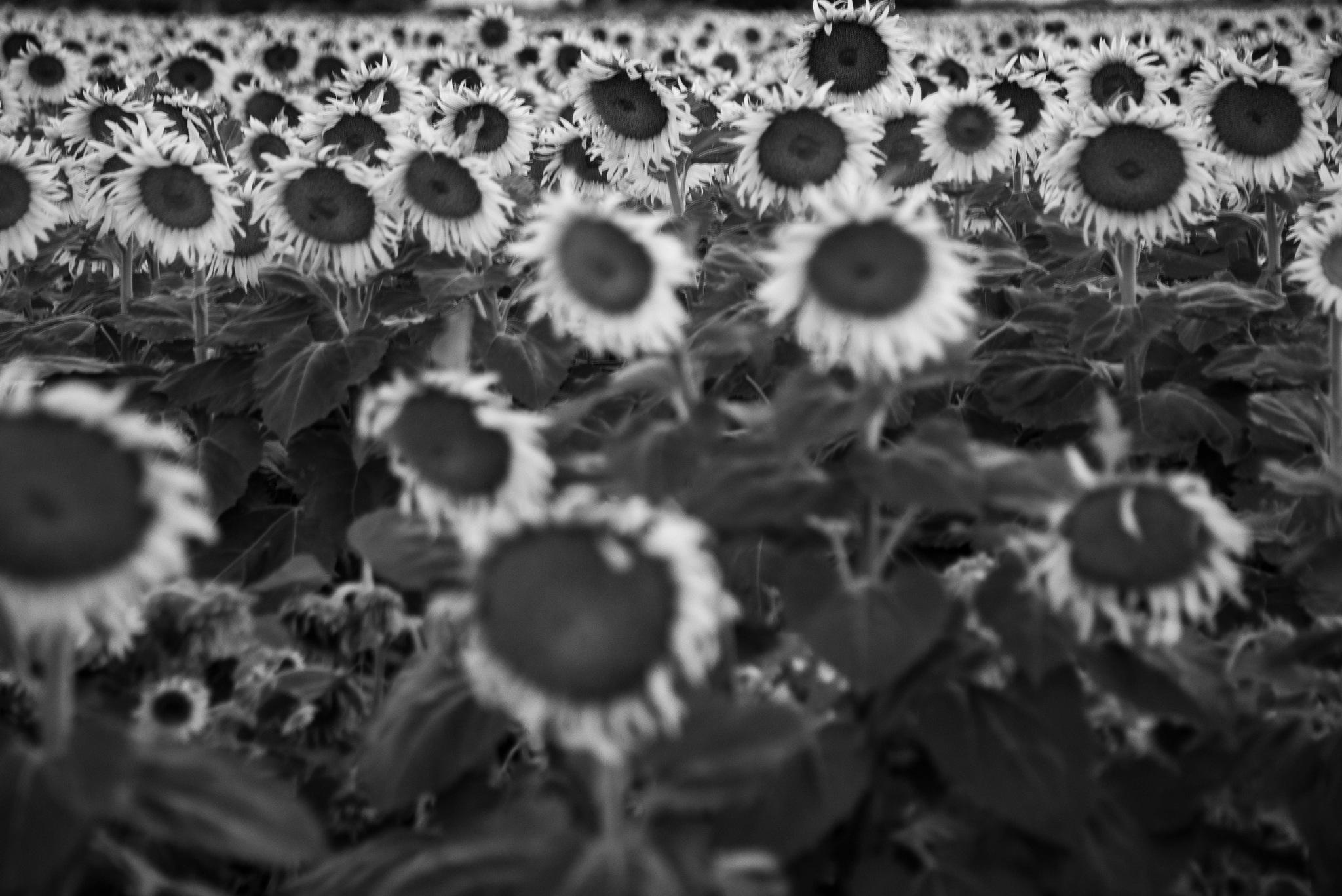 Sunflowers by Craig Turner