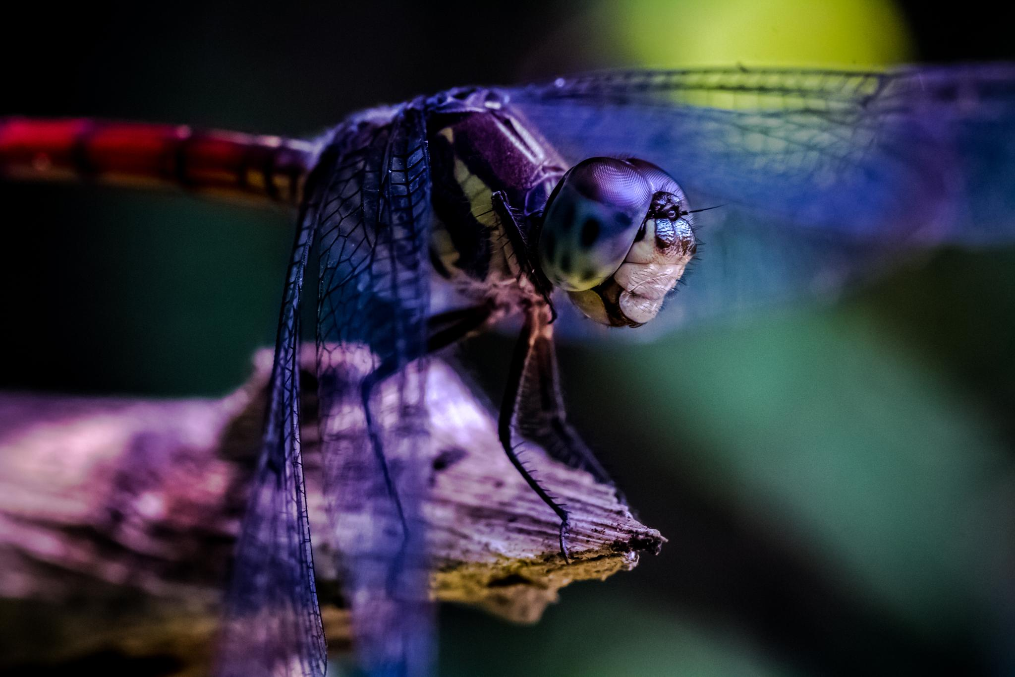 Portrait of a dragonfly by Thomas Ho