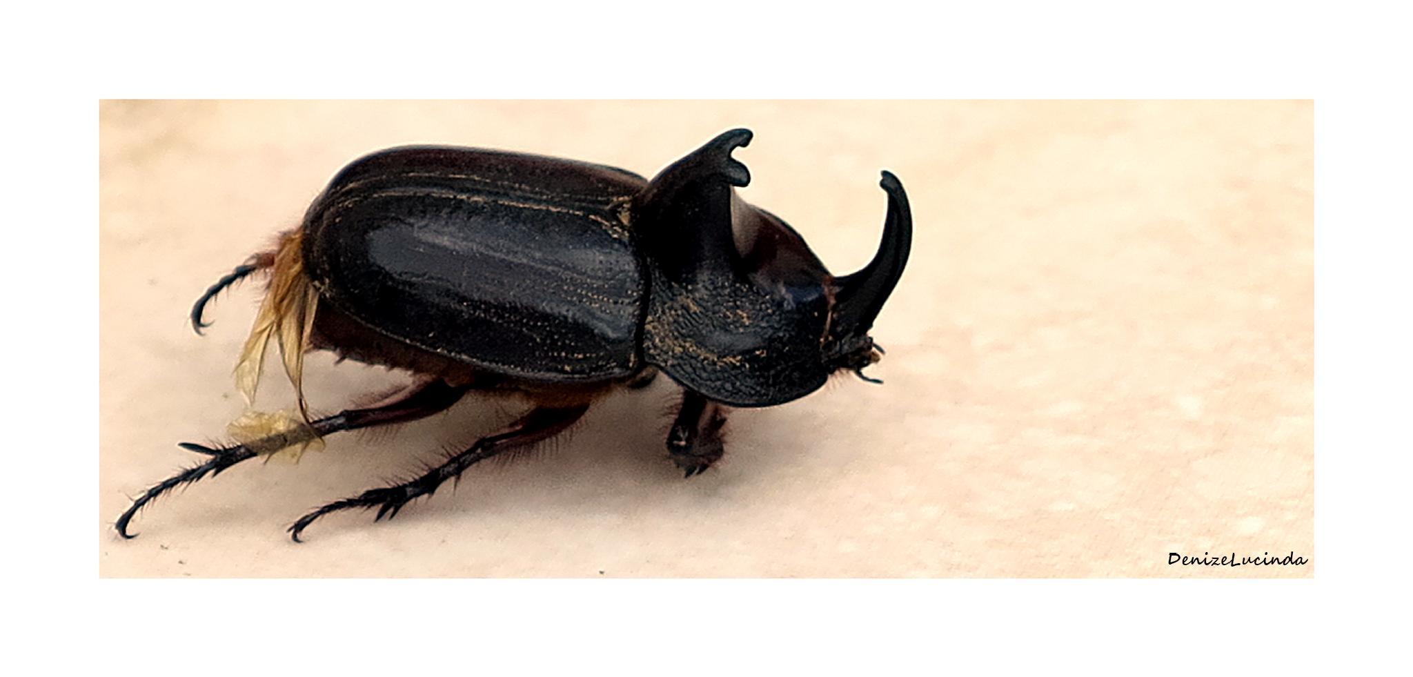 Megasoma anubis: o besouro rinoceronte by denizelucinda