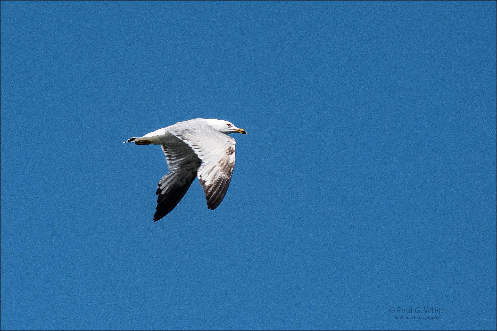 """Grumpy Seagull"" by paul.g.white"