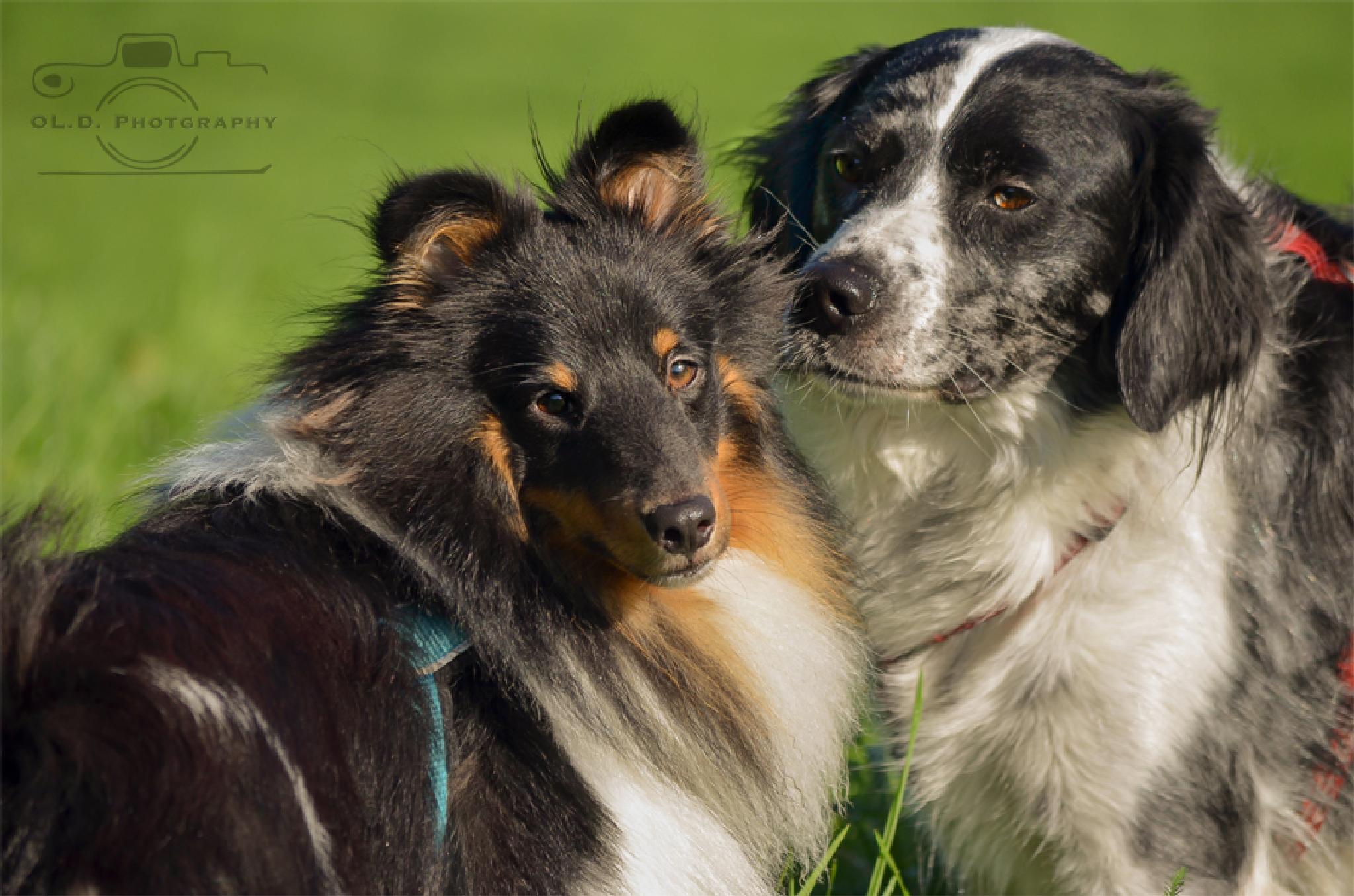 Photo in Animal #sheltie #munsterlander #dogs #summer