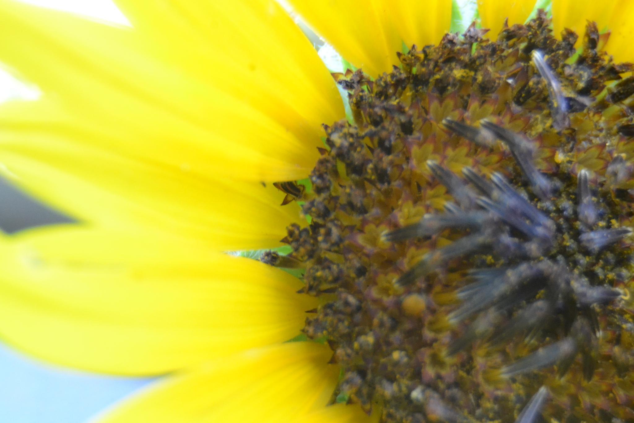 Sunflower by joshua.rich.399