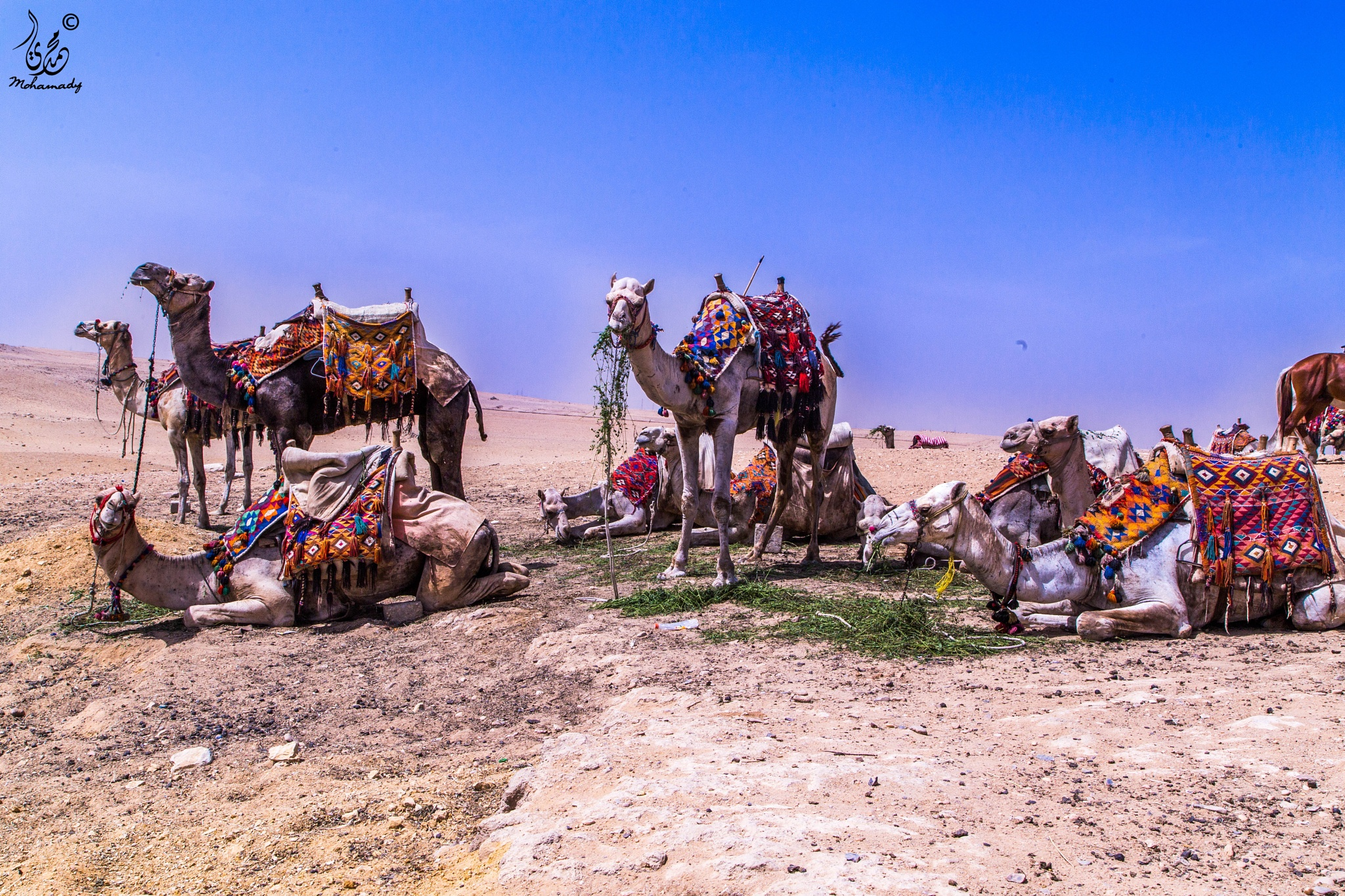 Photo in Animal #camel #camels #pyramids #egypt
