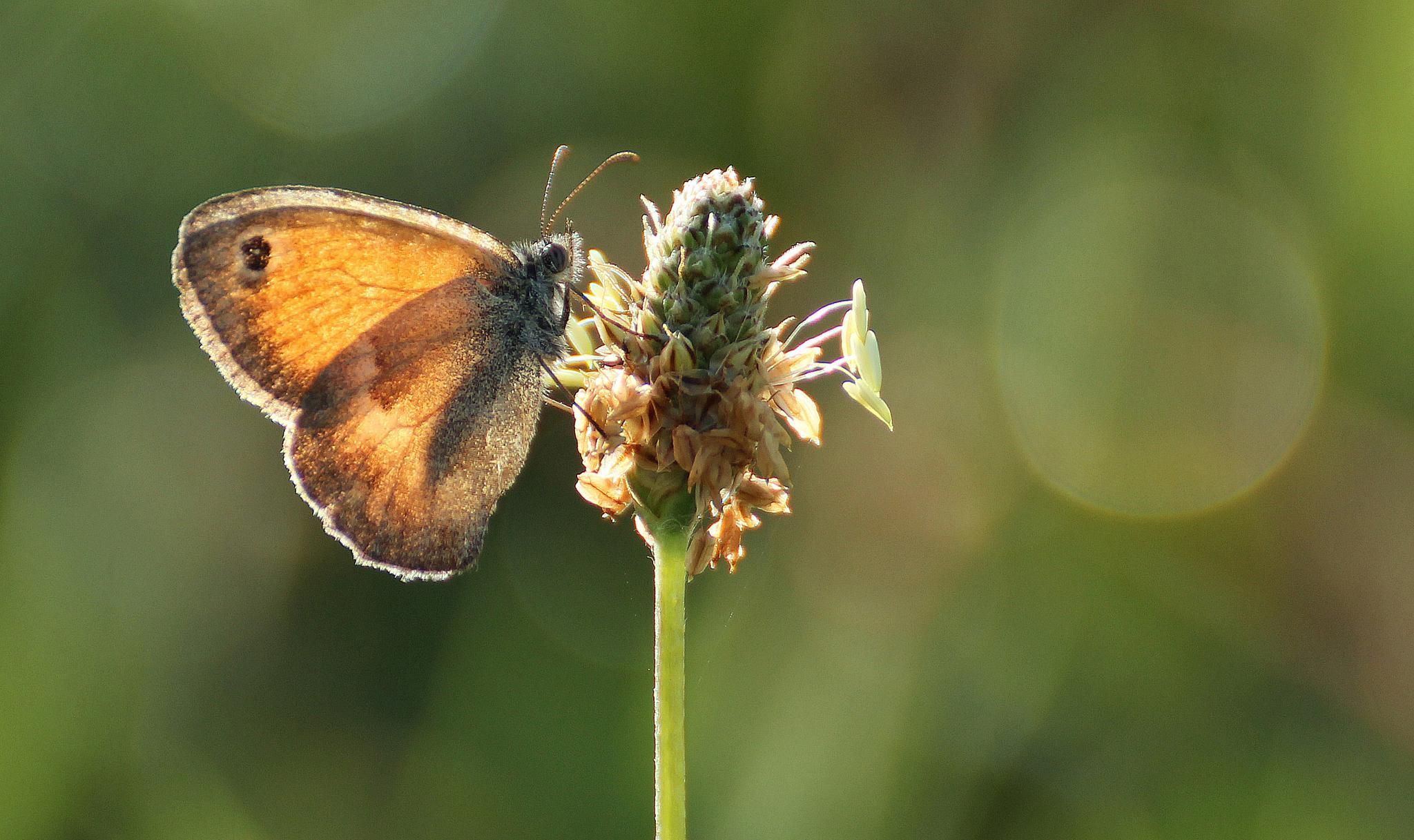 Photo in Macro #butterfly #papillon #liteon #abdullah durmuş #düzce #nature #flower #close up