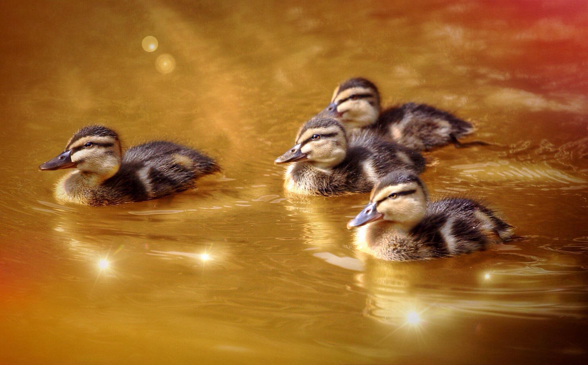 Duckie Love  by mondophotography