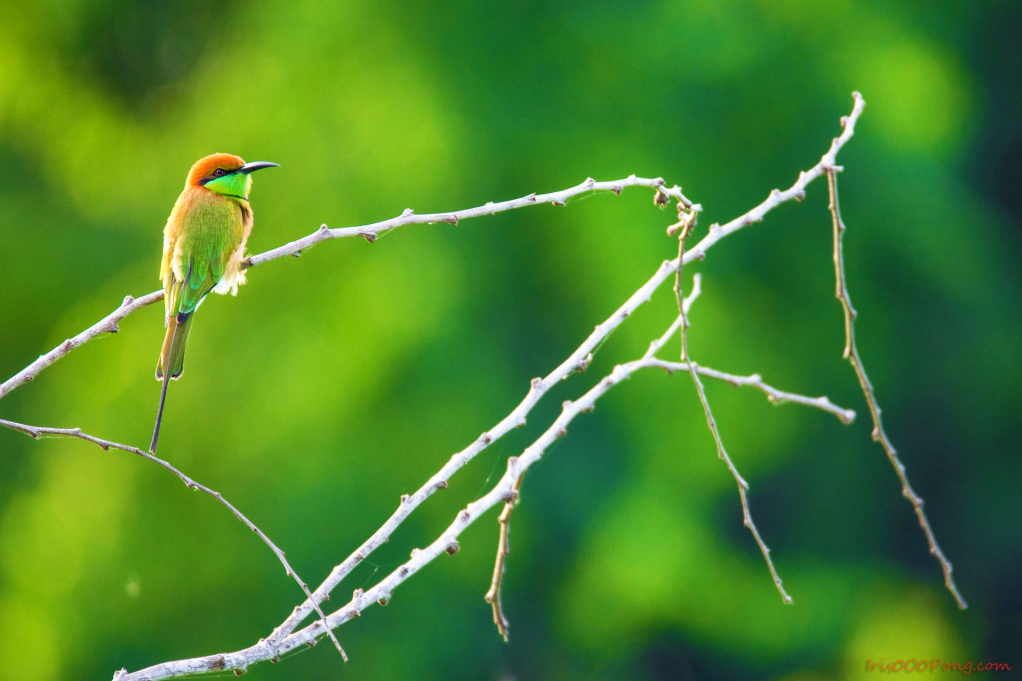 BEE EATER by iris0o0pong