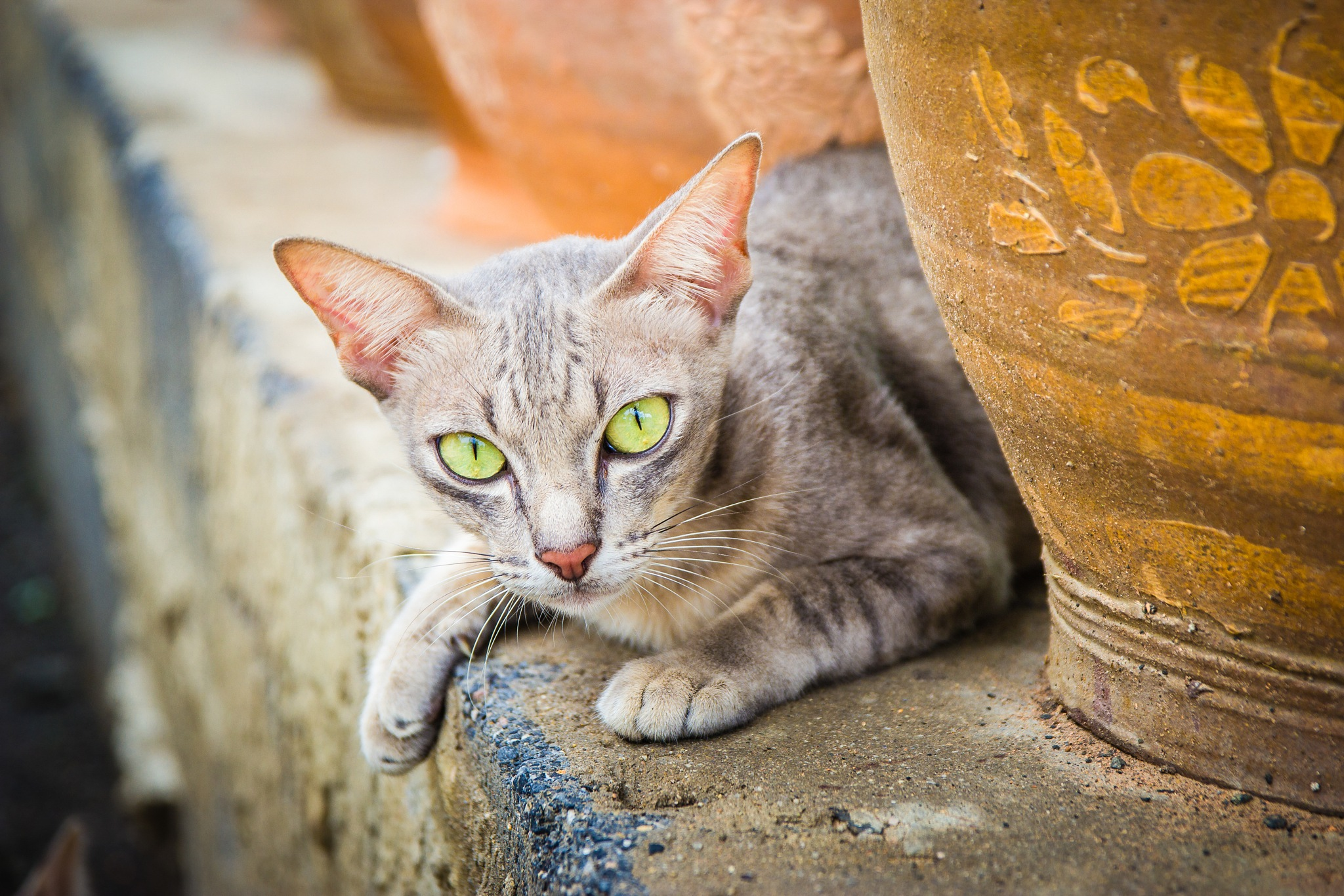 thai cat by Thirachet pendermpan