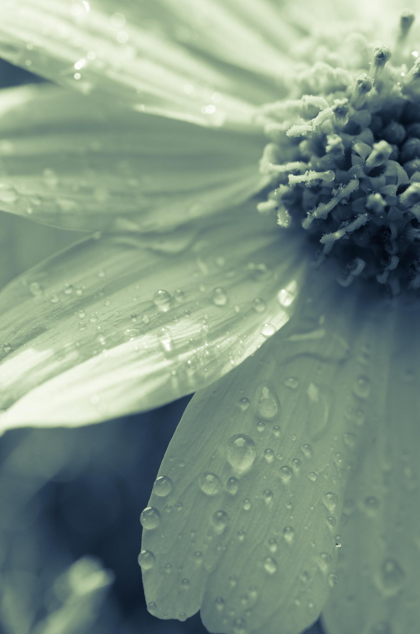 Rain and Flower by davidpinter