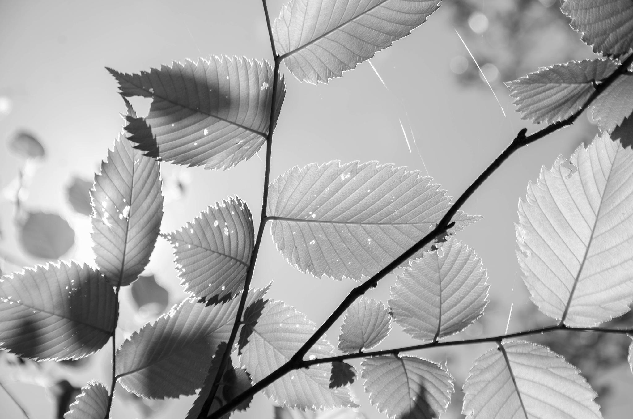 Leaves with Light by davidpinter