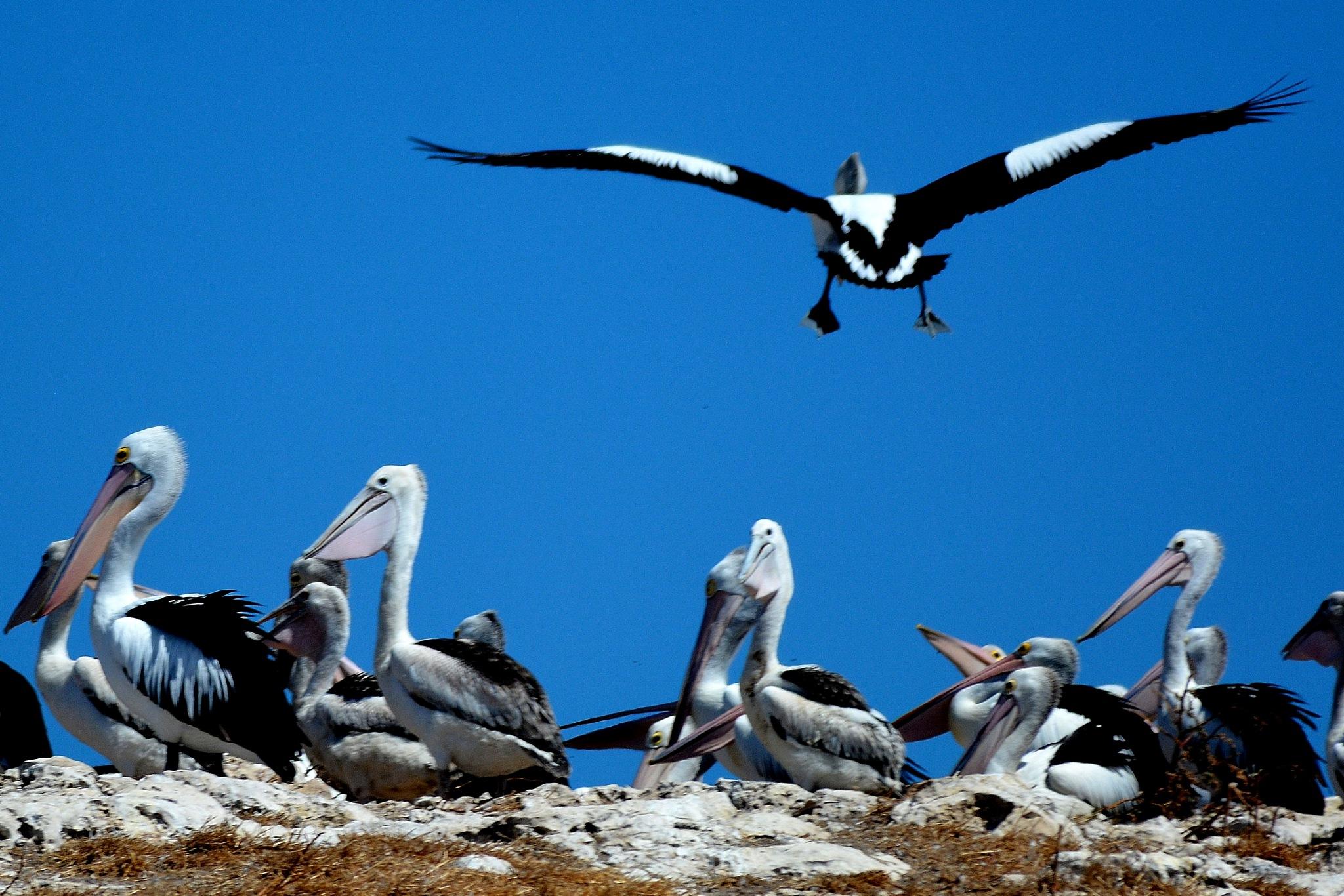 Pelican Island by aaron.patterson.9889