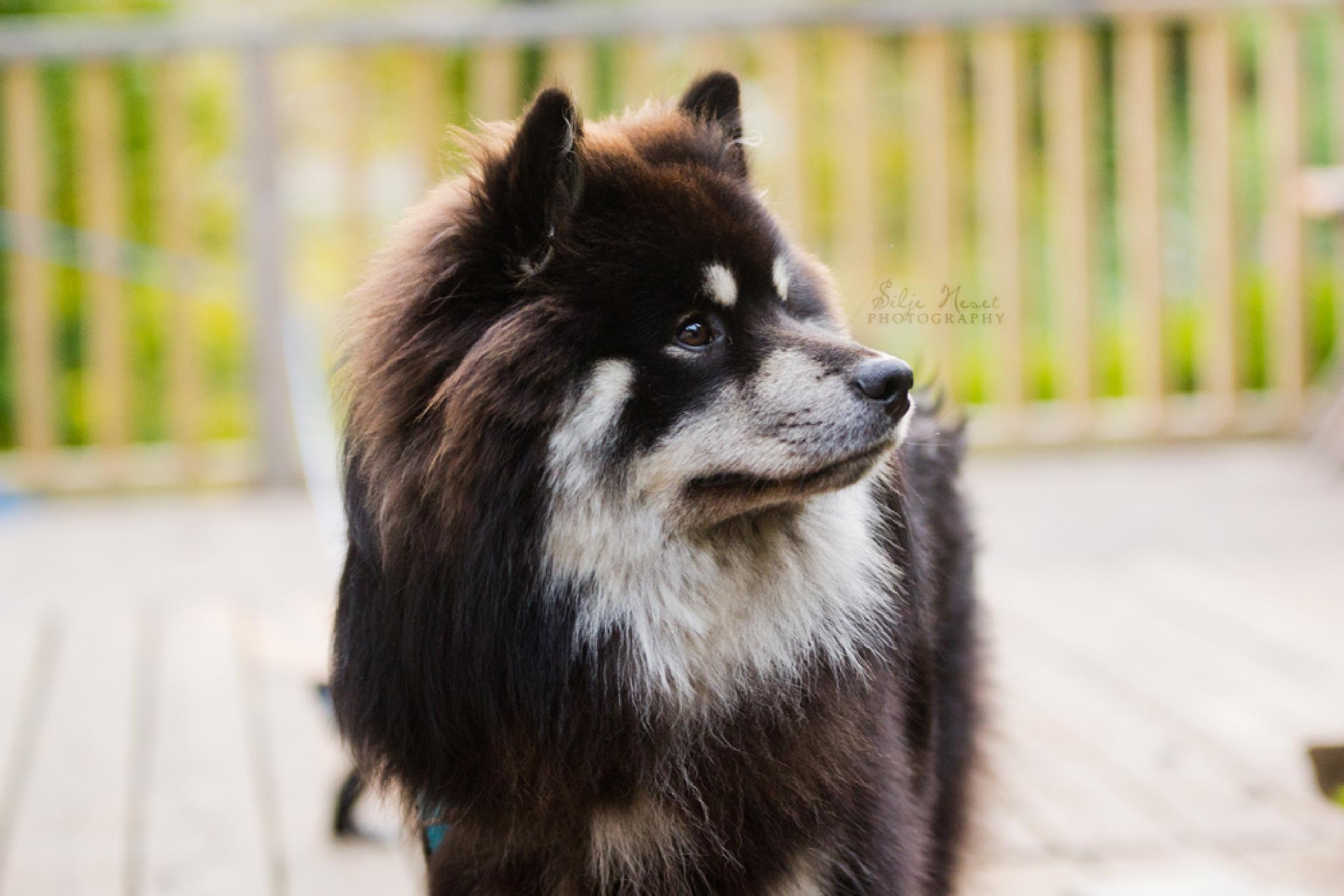 Mio the finnish lapphund by Silje Neset