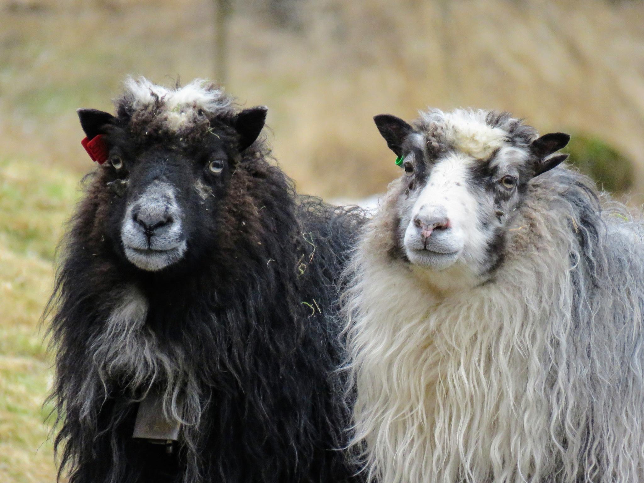 #Sheep by marit