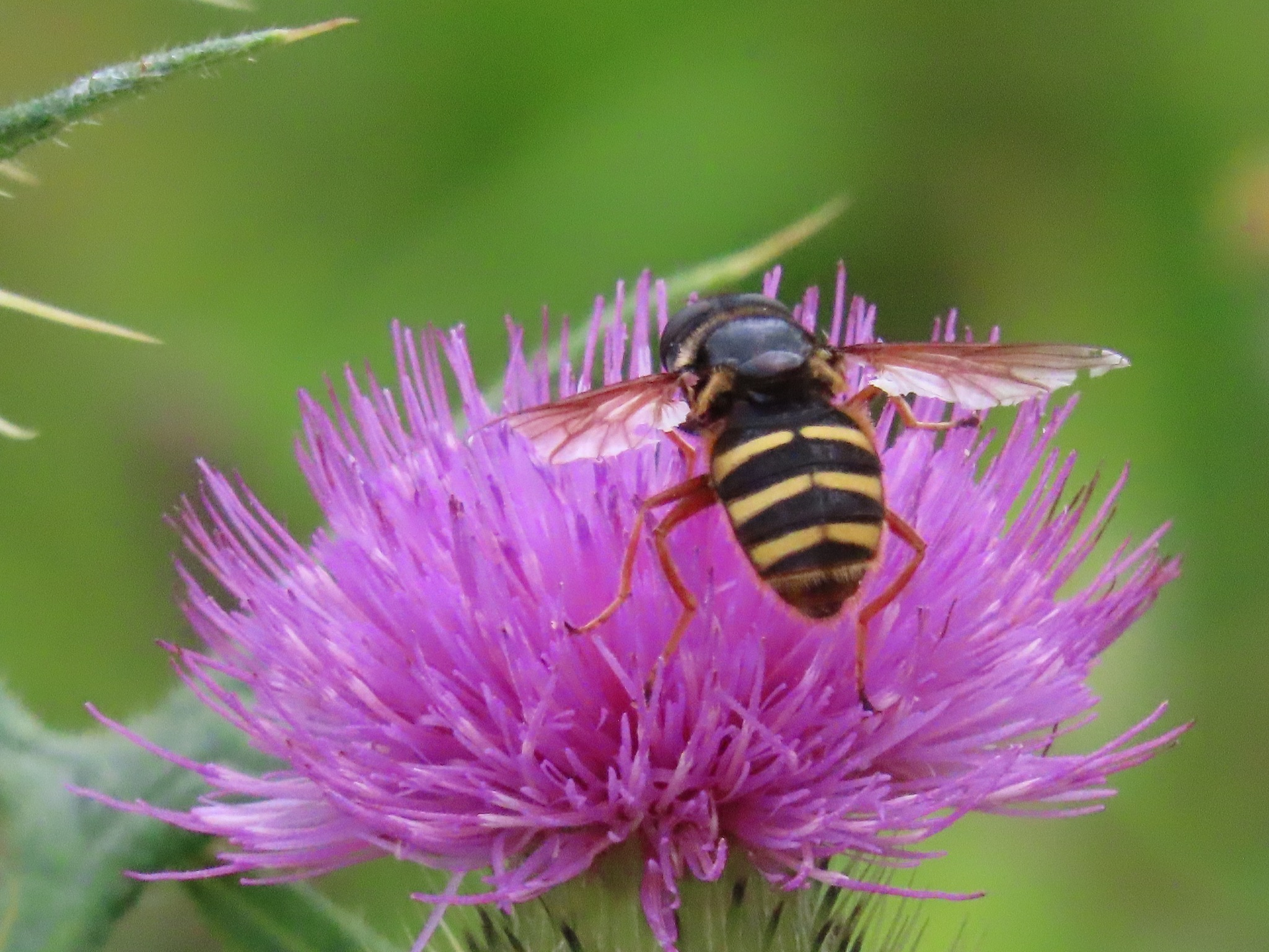 #Busy hoverfly by marit