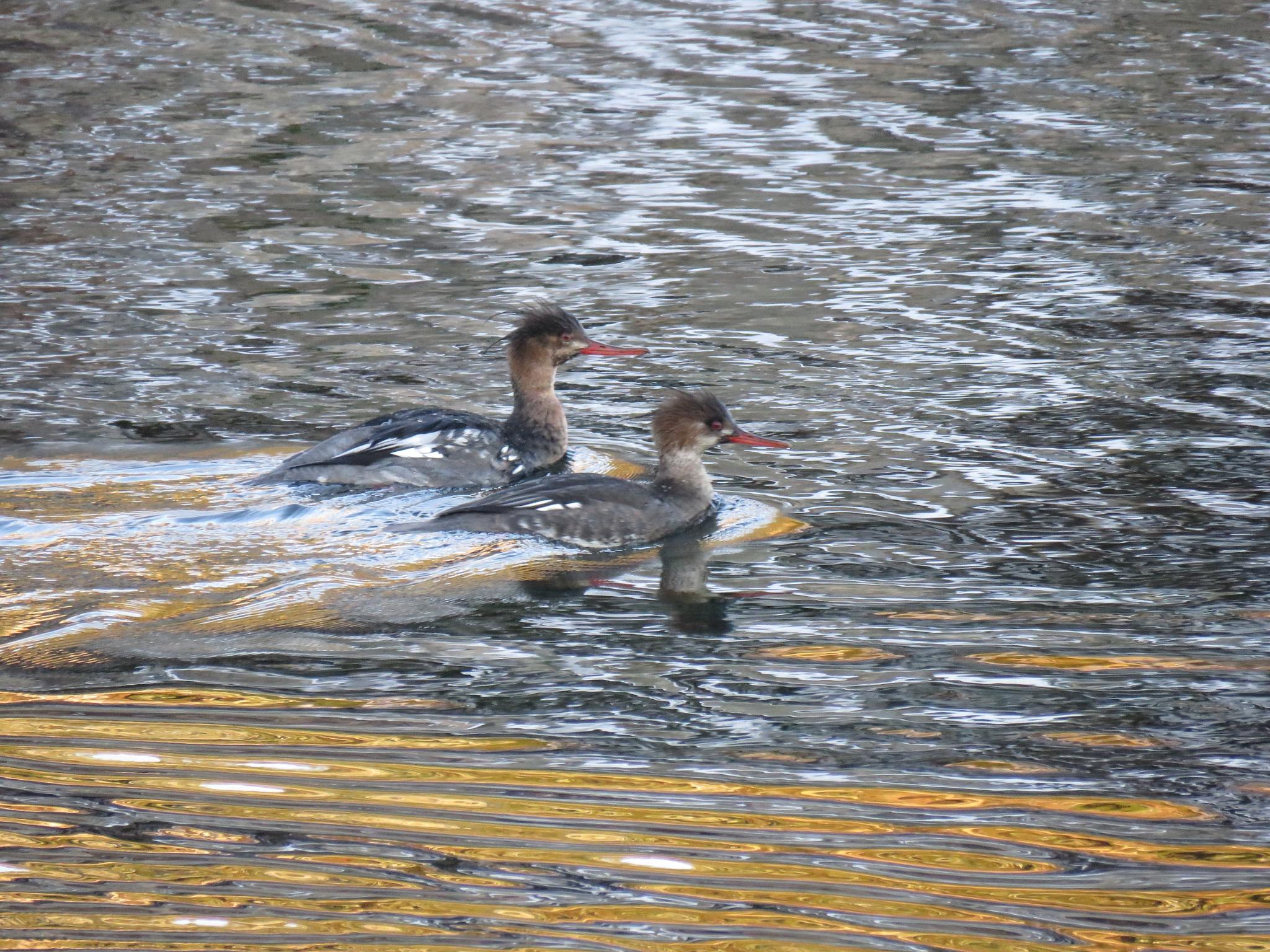 #Ducks by marit