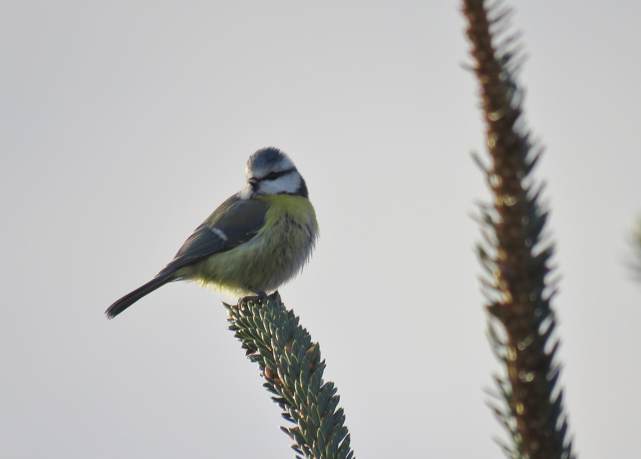 #Bluetit 2 by marit